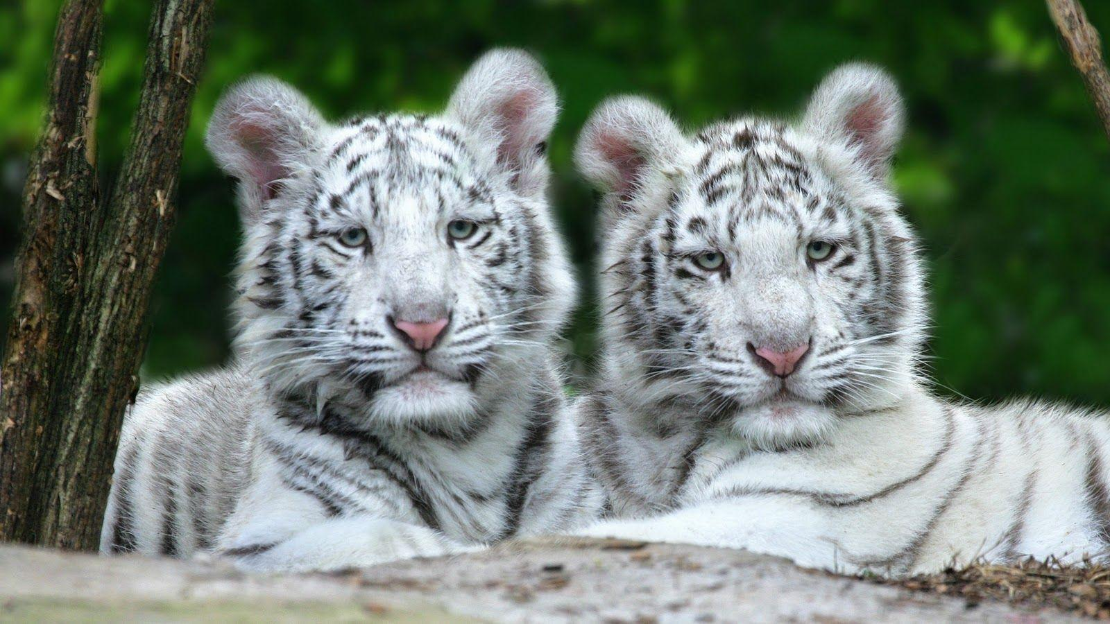 White Siberian Tiger Wallpapers