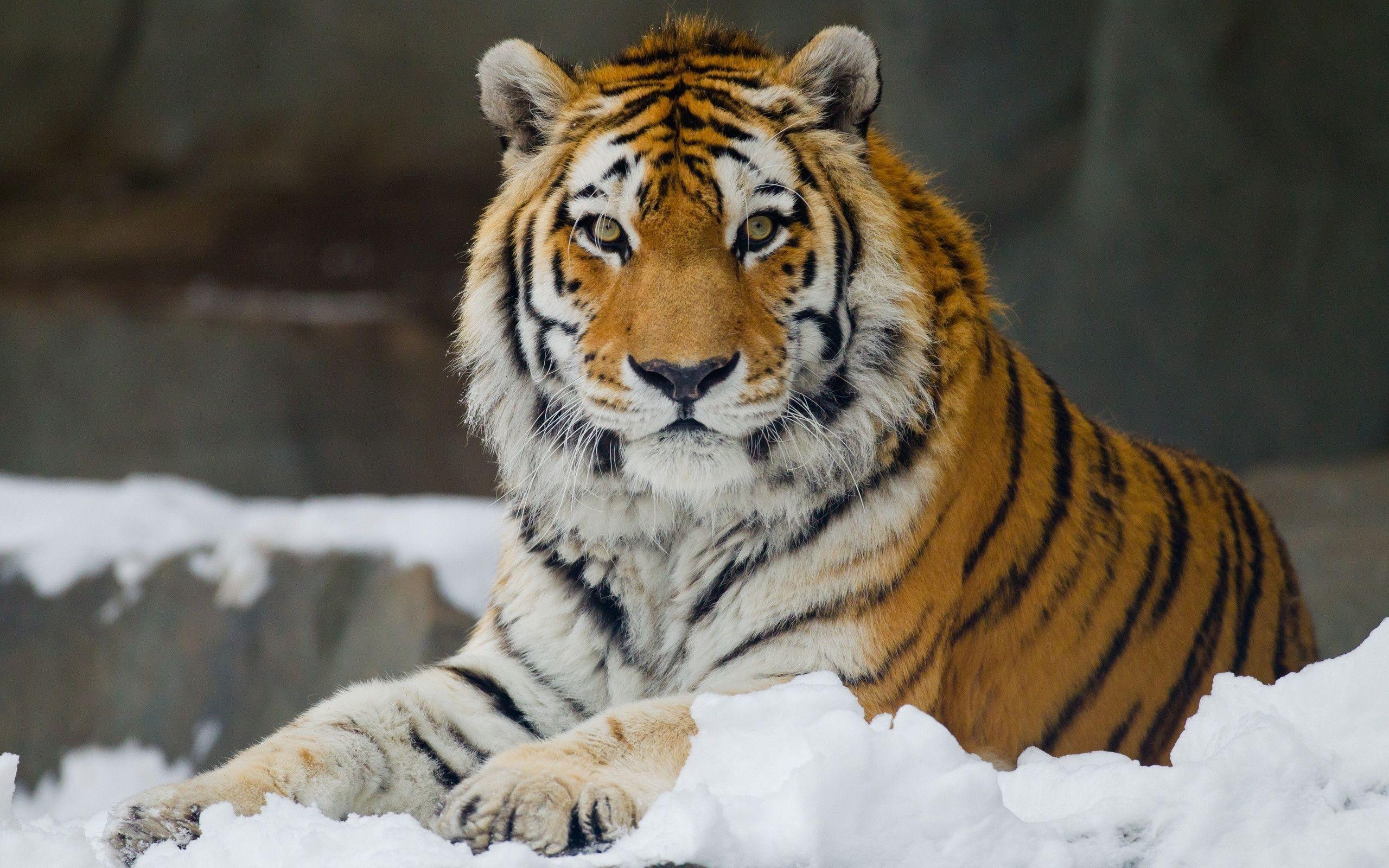 tiger wild snow - photo #28