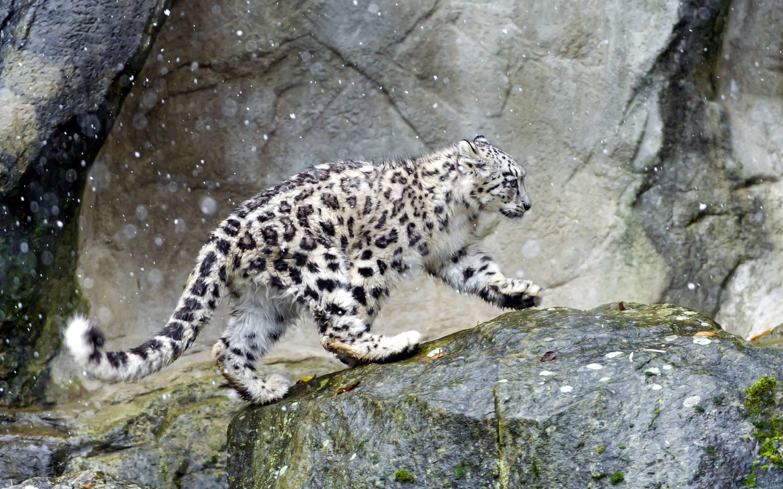 Snow Leopard Wallpapers - Wallpaper Cave