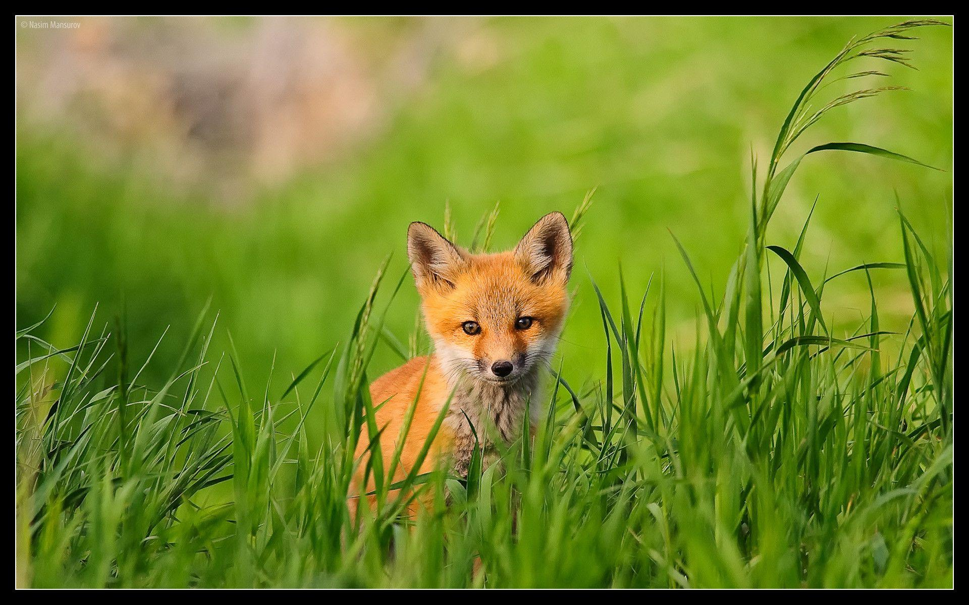 Red Fox wallpaper - 101428