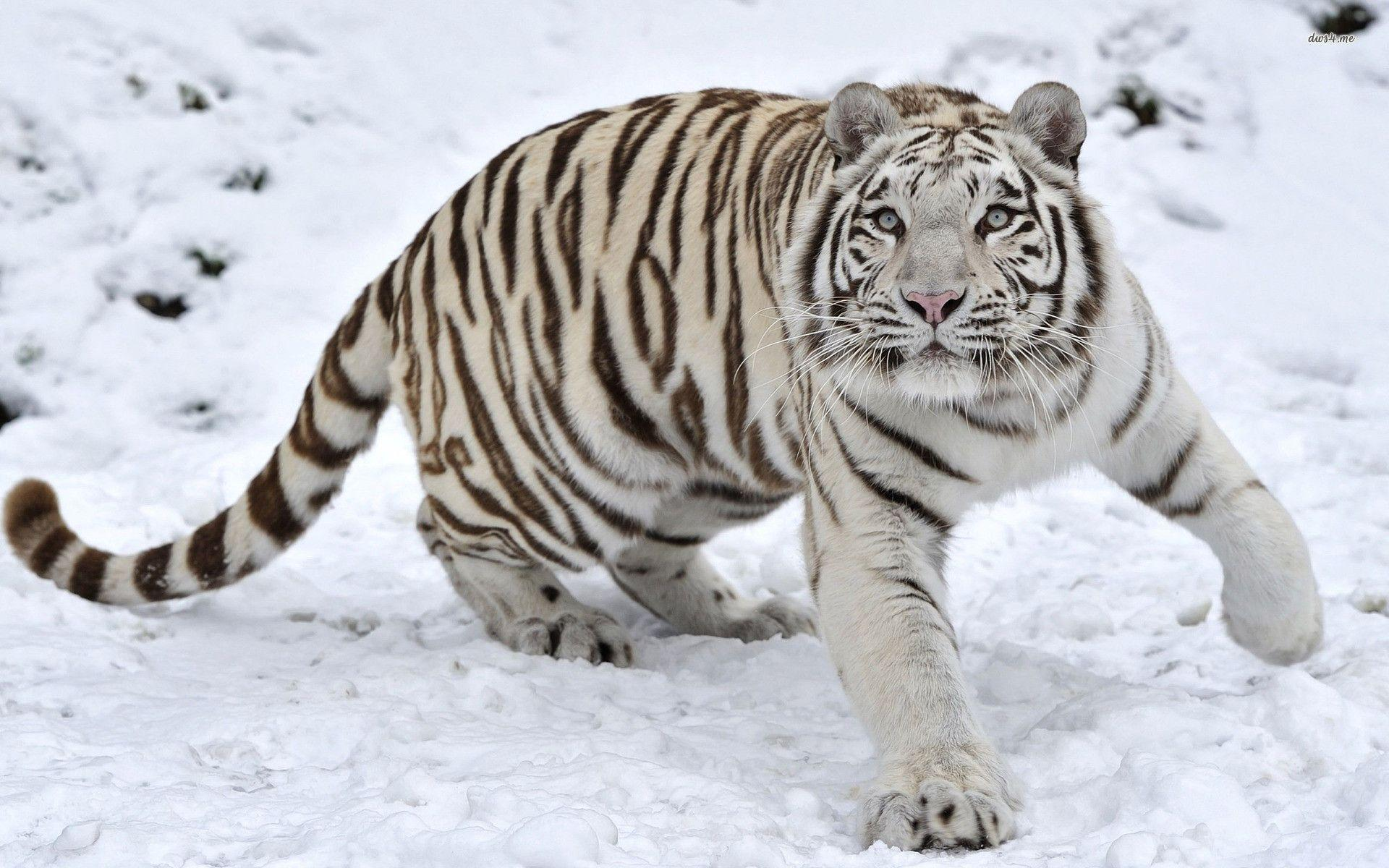 wallpaper hd white tiger - photo #13