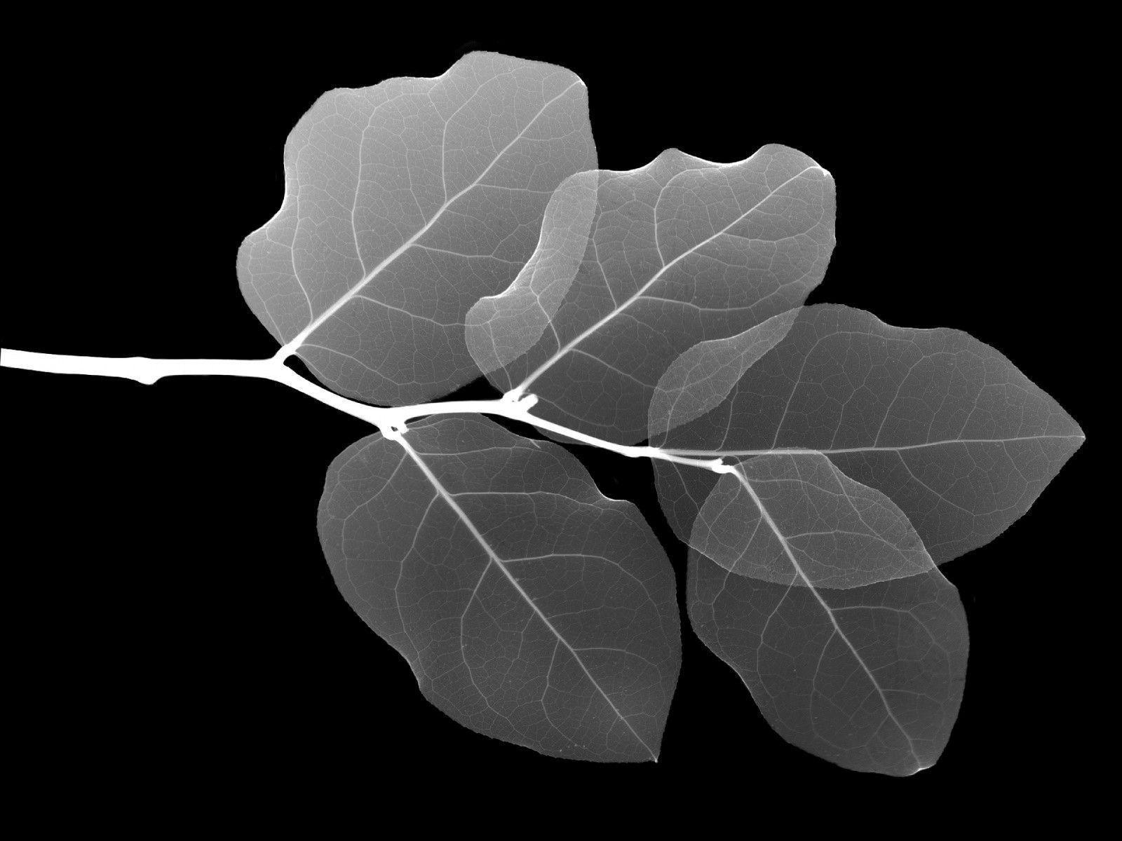 1600x1200 leaf x ray desktop pc and mac wallpaper