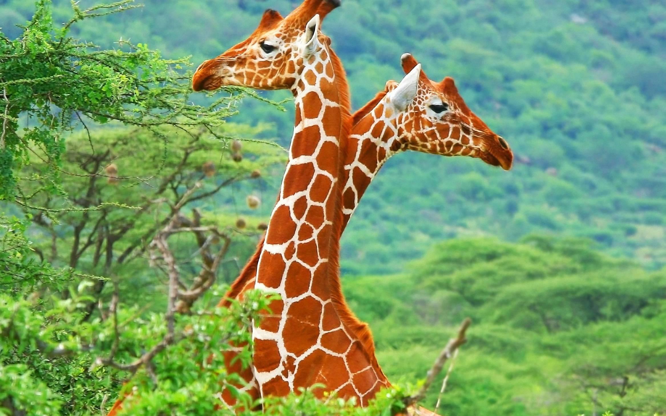 Giraffe Backgrounds - Wallpaper Cave