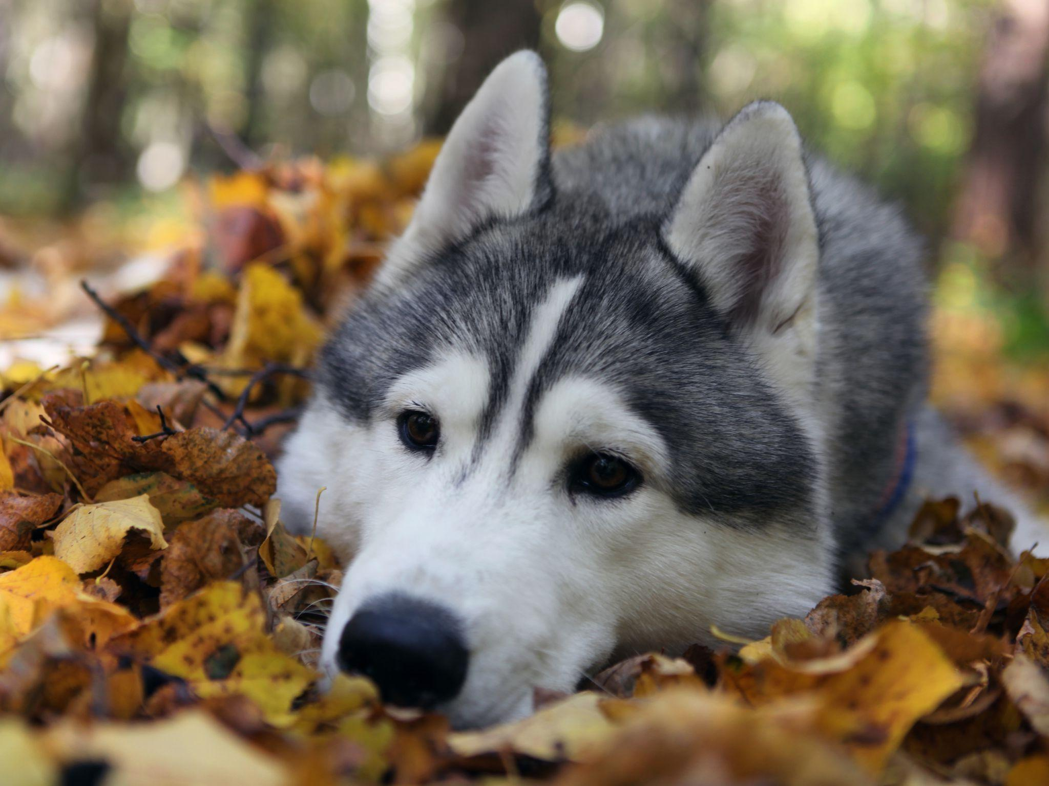 cute husky puppies hd - photo #21
