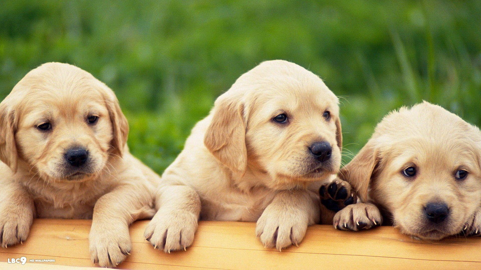 Labrador Wallpapers - HD Wallpapers Inn
