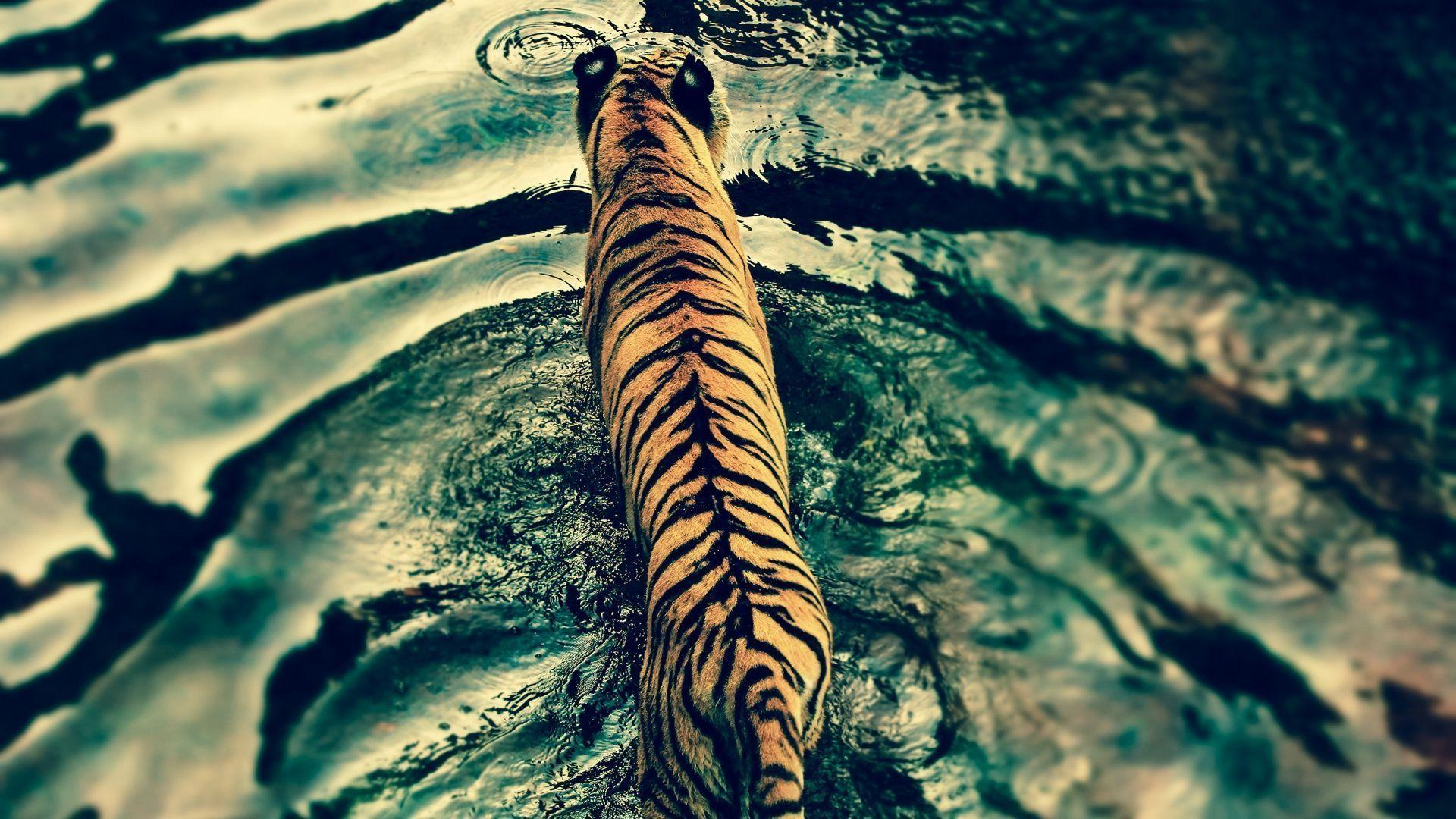 Tiger Wallpaper Windows Seven #10851 Wallpaper | Cool ...