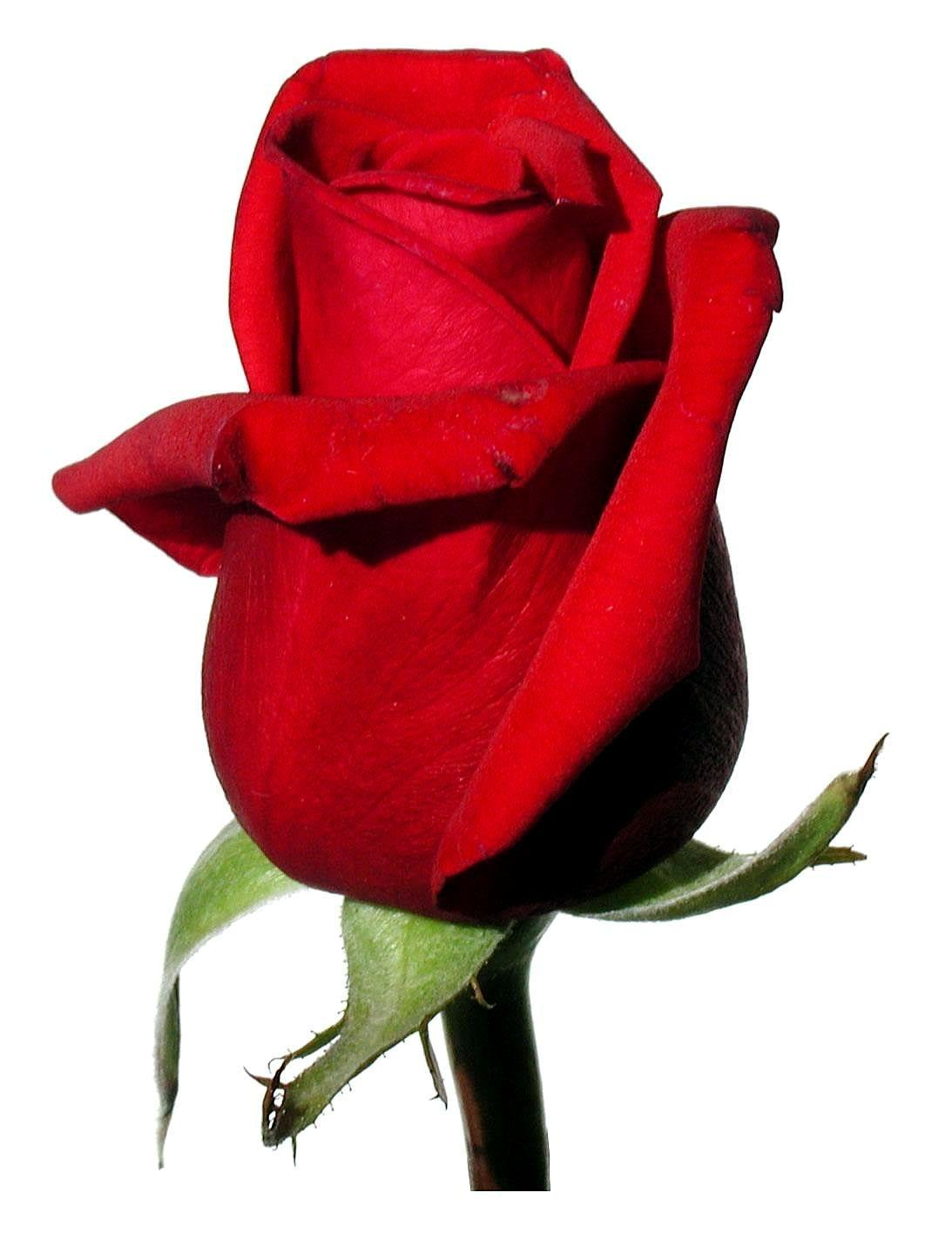 Red Rose With White Backgrounds , Wallpaper Cave