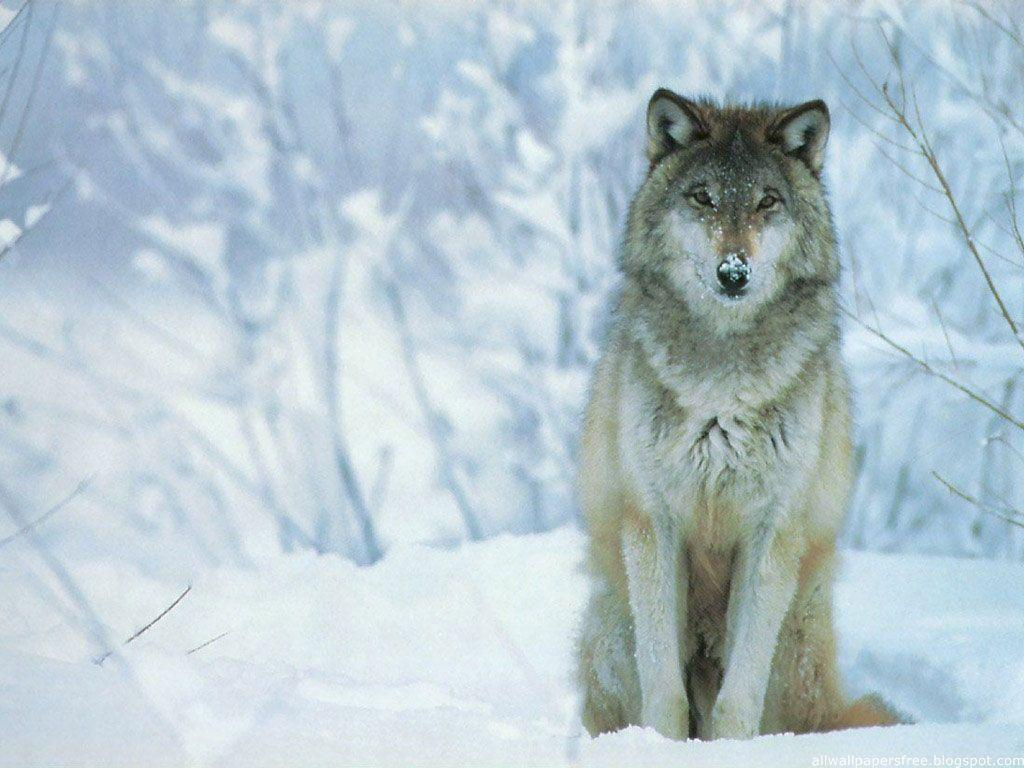 Wolves Wallpapers Snow