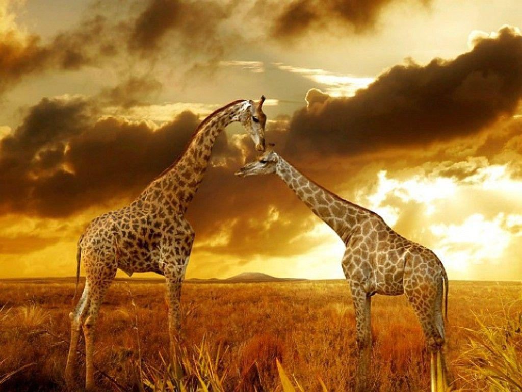 Best wallpapers of Giraffes at Safari 1024×768