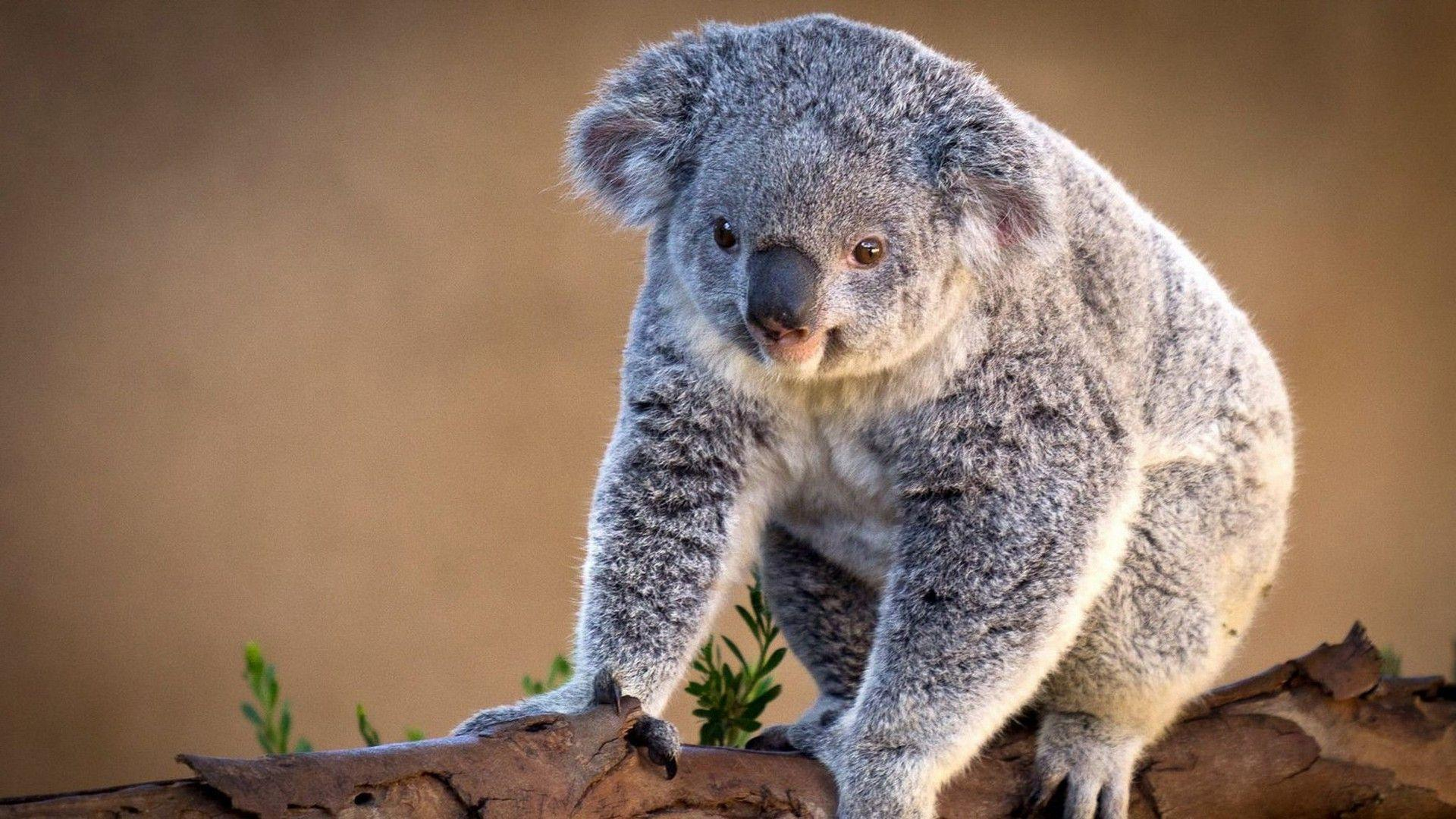 Koala Wallpaper 12955