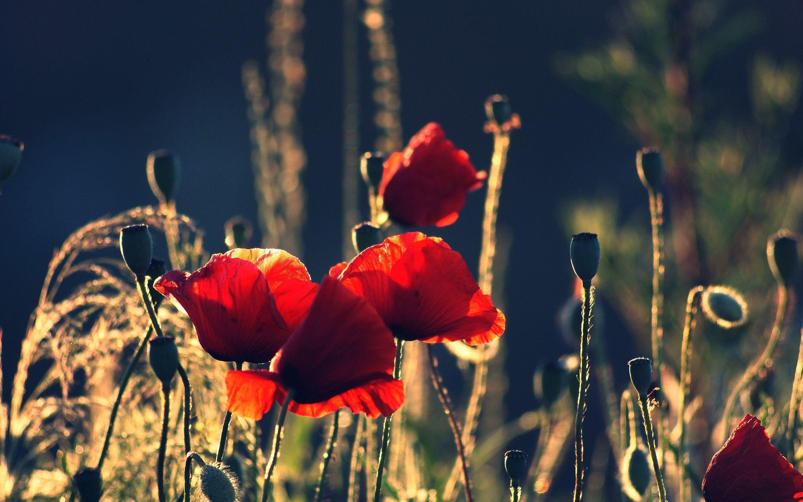 poppy red background - photo #39