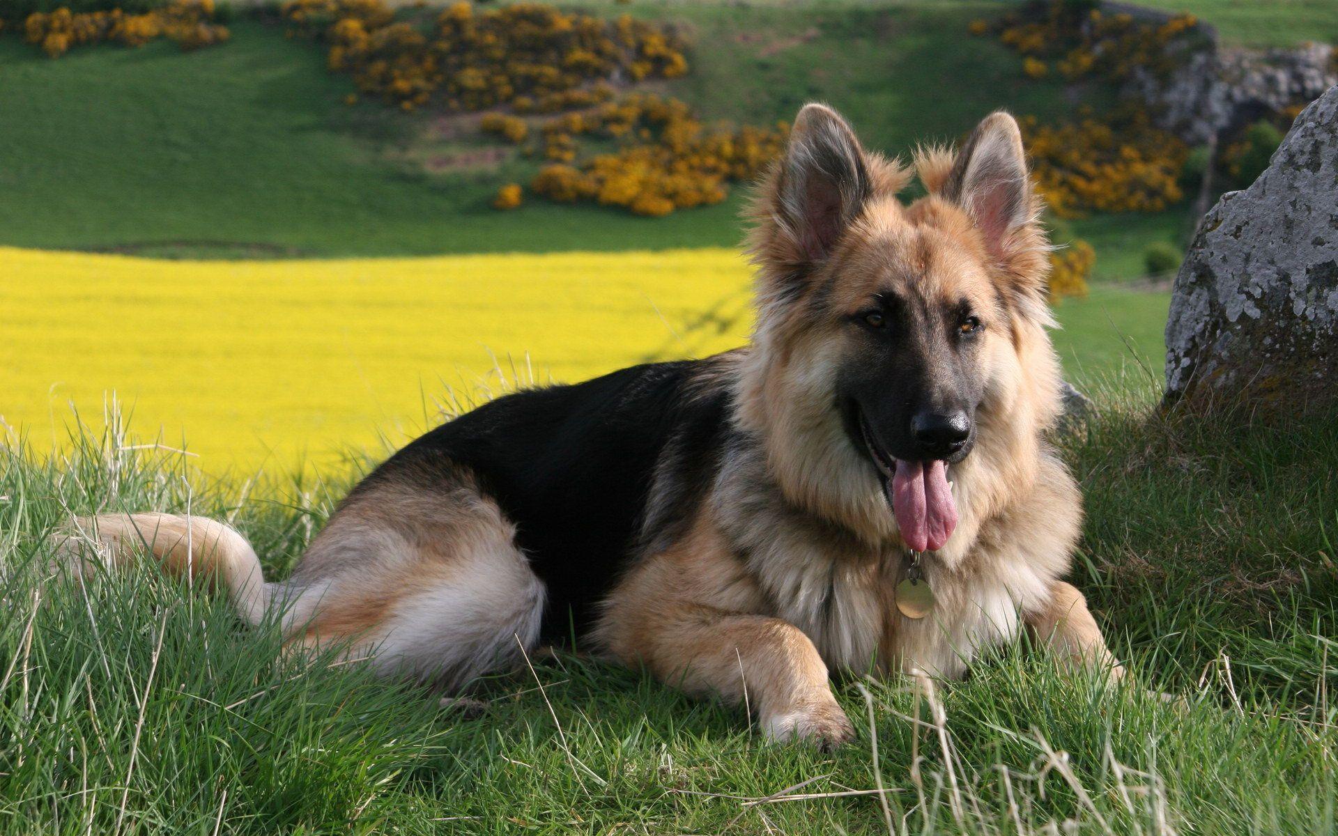 Black German Shepherd Dog Or Black Wolf Photo Download Free