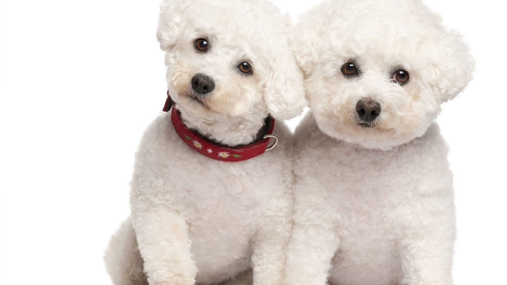 Poodle Wallpapers Wallpaper Cave