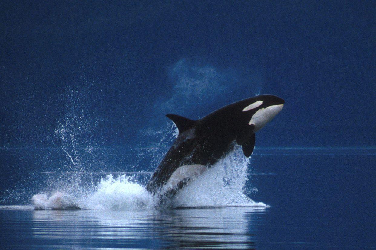 Killer Whale Wallpaper Free