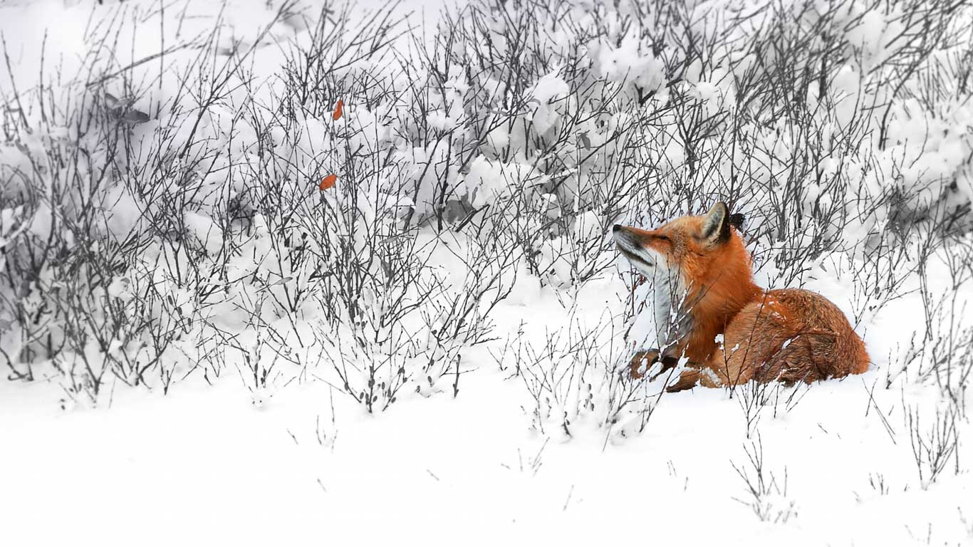 Red fox in the forest-Bing Desktop Wallpaper - 1920x1200 wallpaper ...