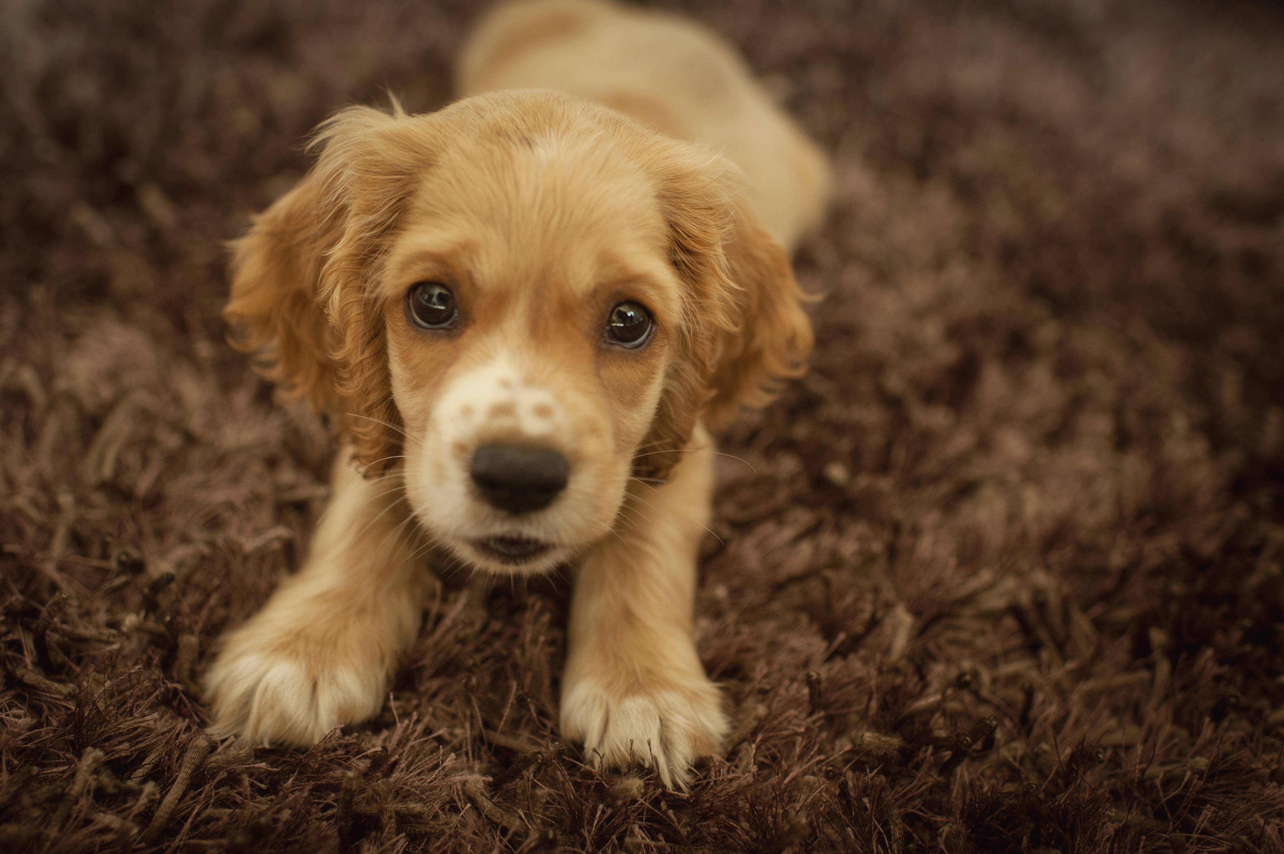 Cocker Spaniel Puppy Pictures, Wallpapers, HD Wallpapers, Cocker ...
