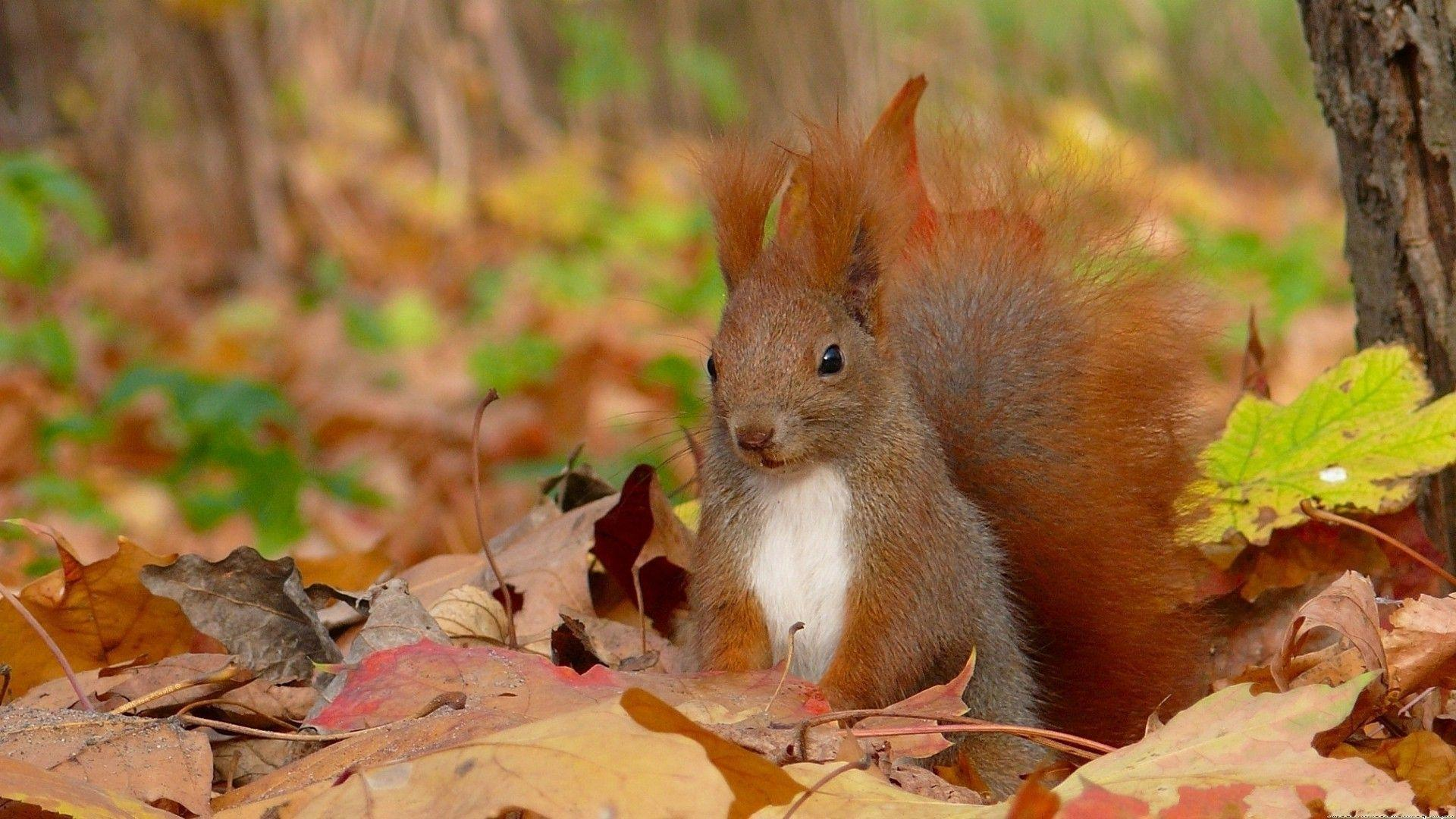 Animal Wallpapers Desktop Images Free Wallpapers Cute: Squirrel Wallpapers