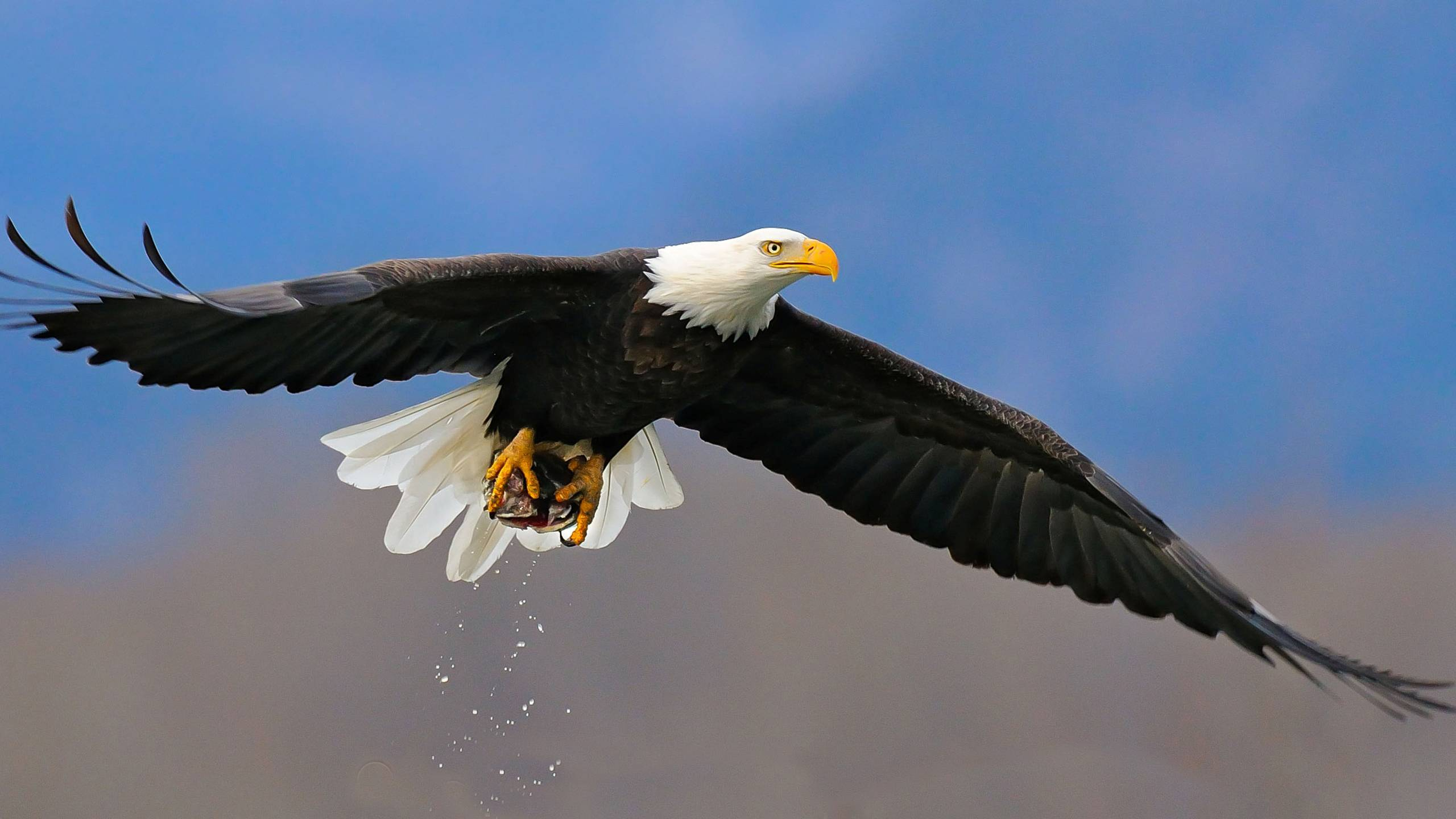 Hd Bald Eagle On