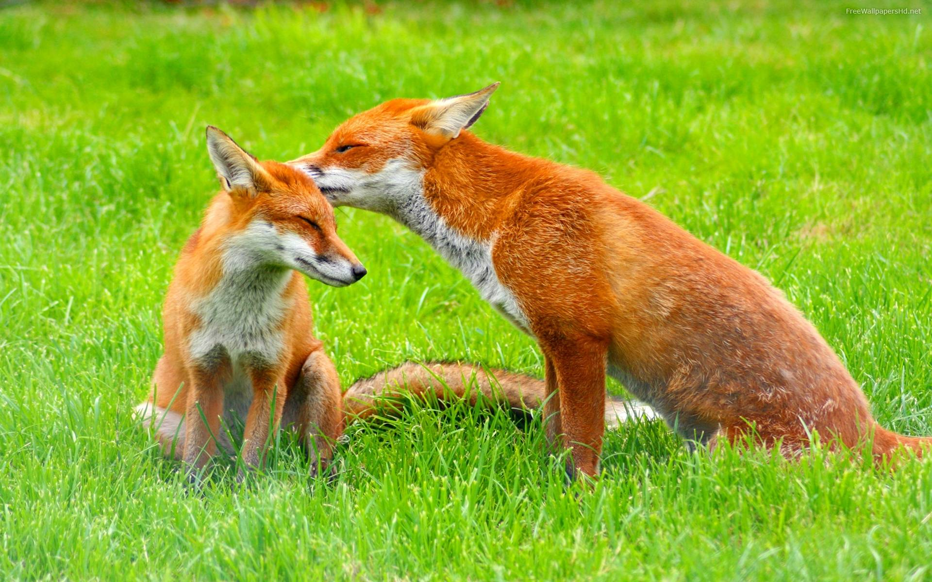 red-fox-wallpapers-free-picture free picture