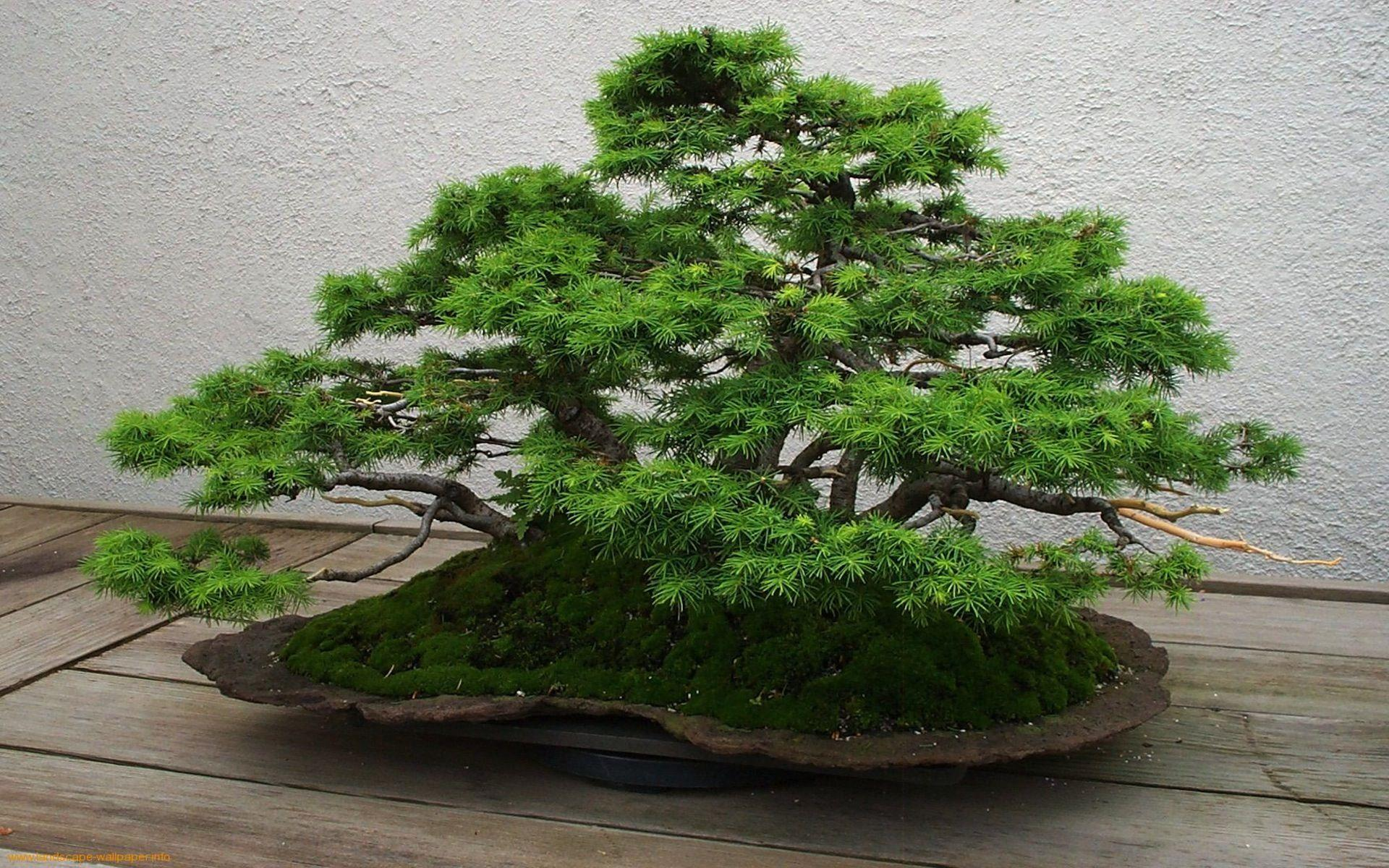 Bonsai Wallpapers - Full HD wallpaper search - page 2