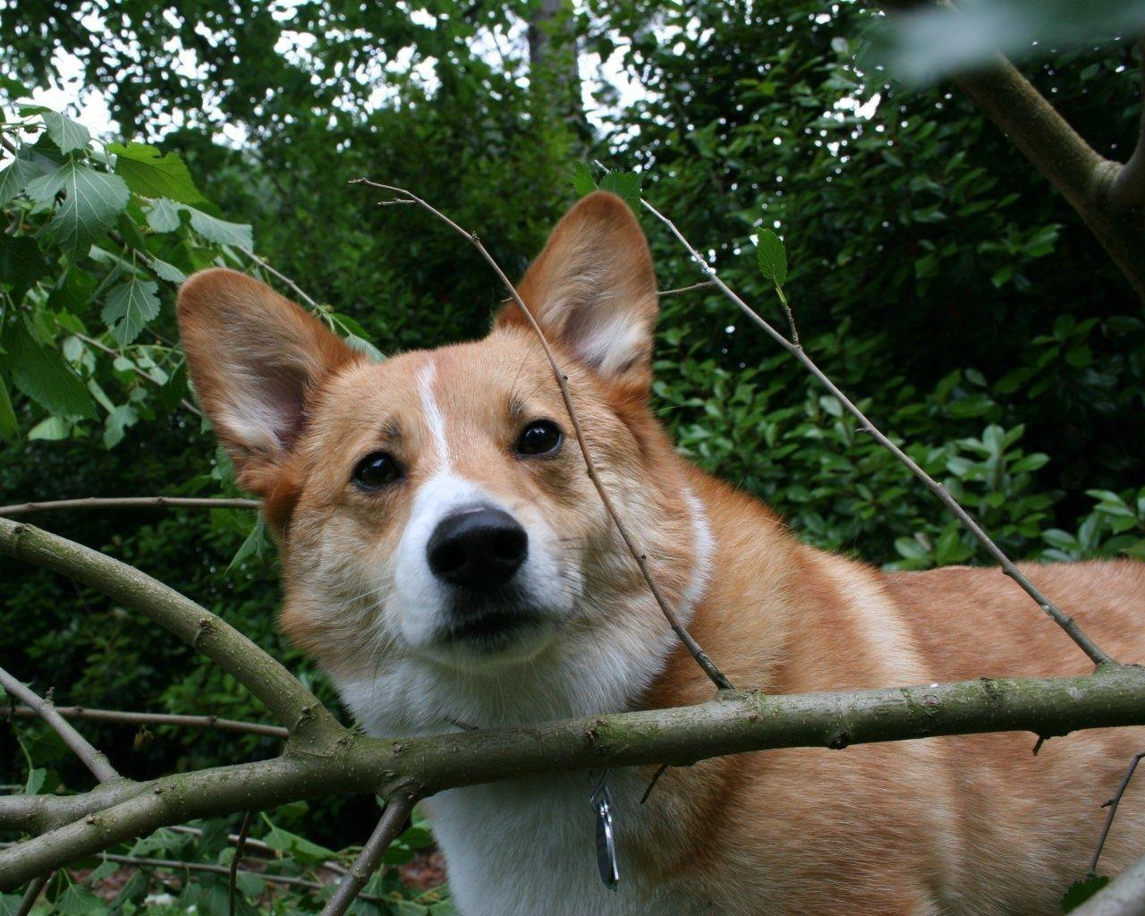 Pembroke Welsh Corgi Dog free hd wallpapers for desktop -