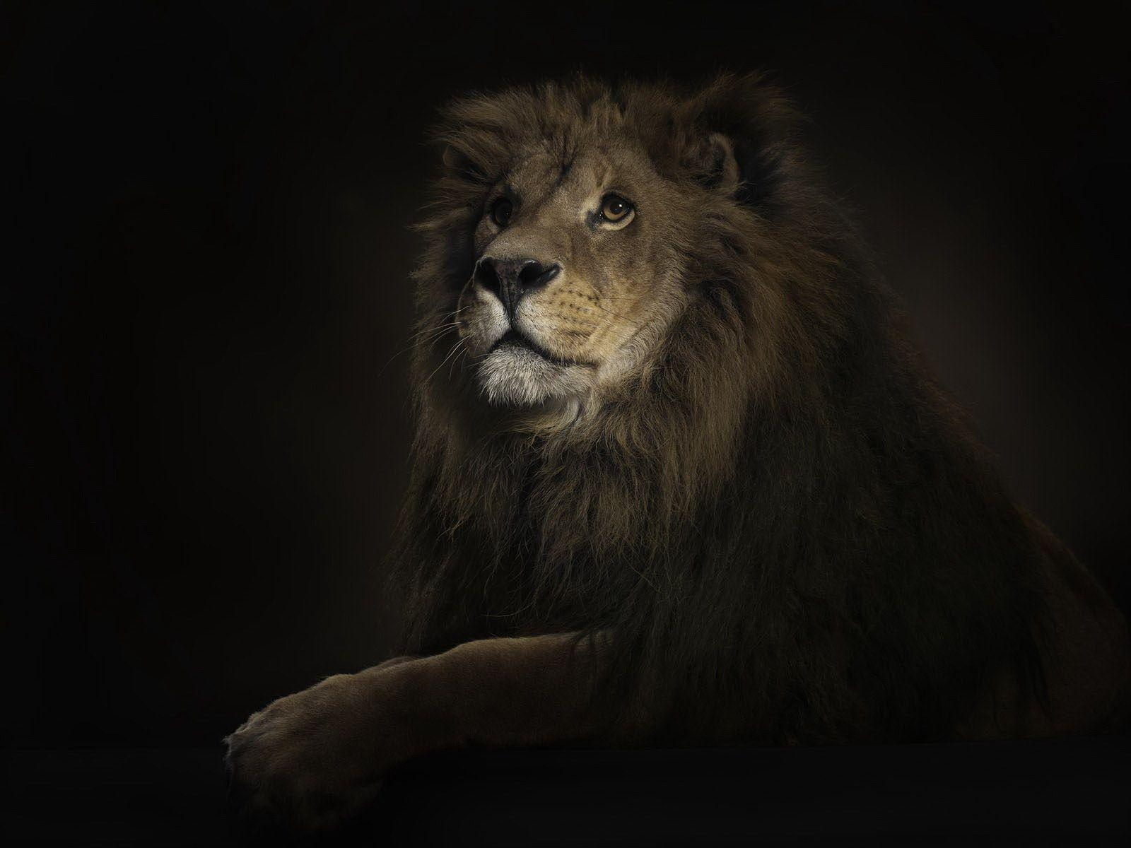3D Lion Wallpaper - Animal Wallpapers (1944) ilikewalls.