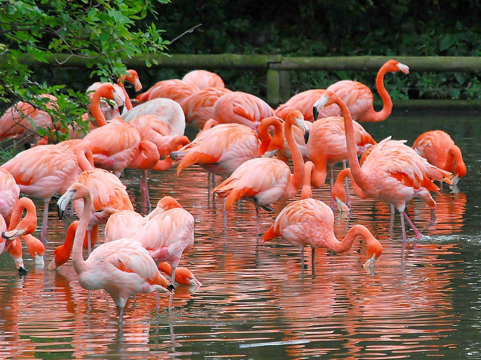 Animals For > Red Flamingo Wallpapers