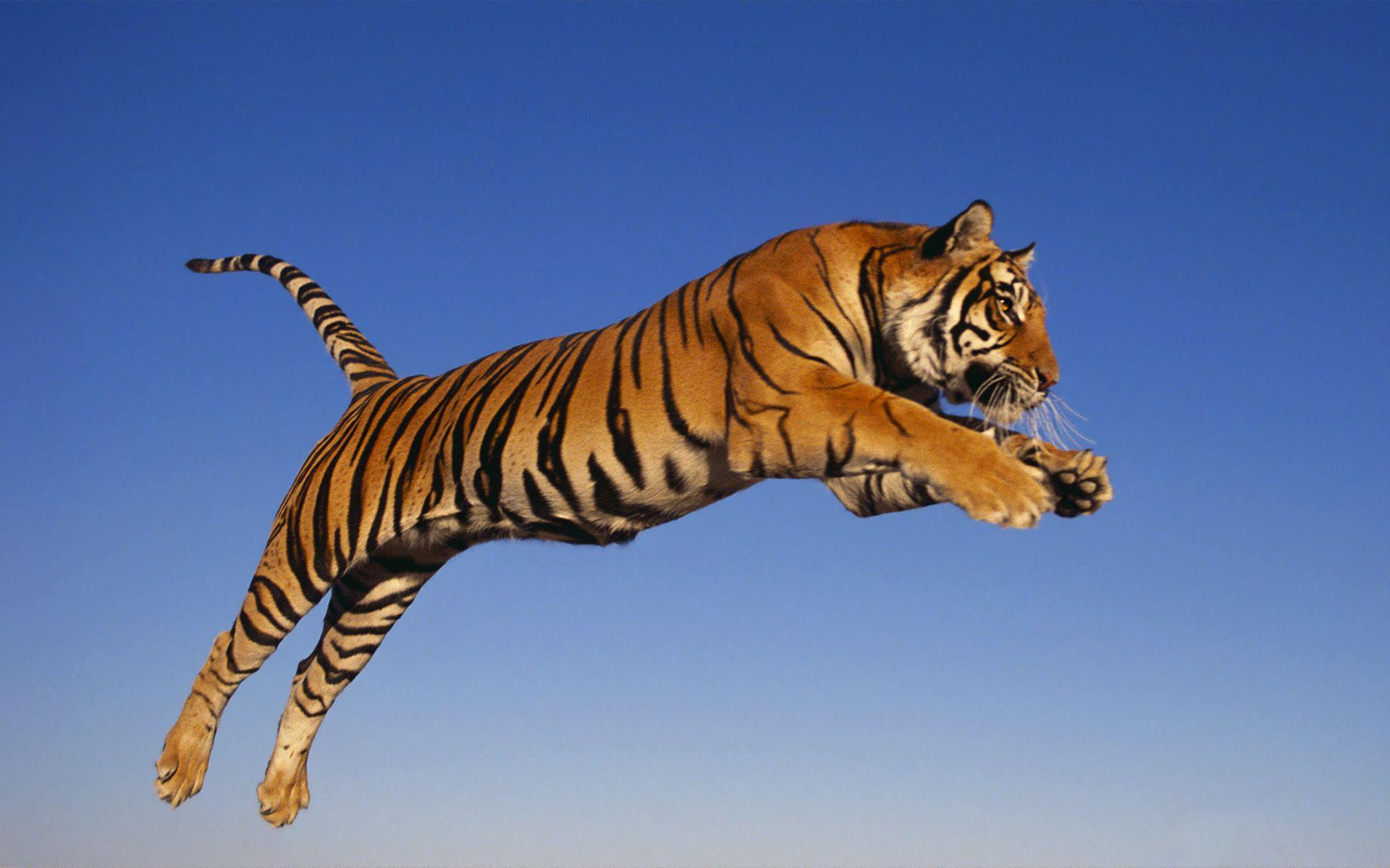 Jumping Tiger Wallpaper HD #10860 Wallpaper | Cool Walldiskpaper.com