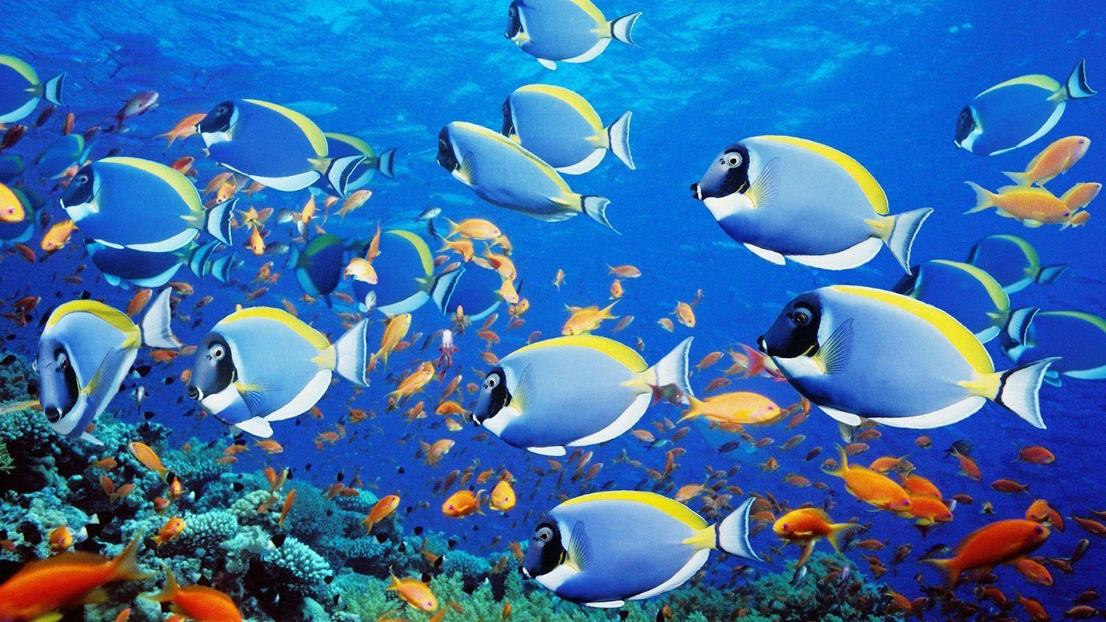 Group of tropical blue fish wallpapers