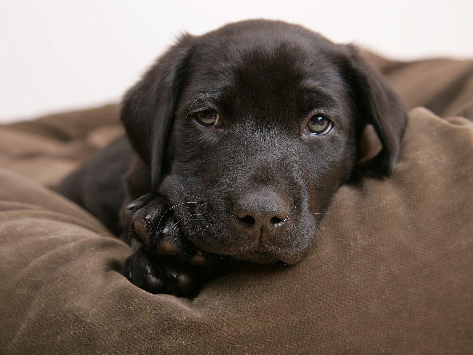 Little labrador - Puppies Wallpaper (14749010) - Fanpop