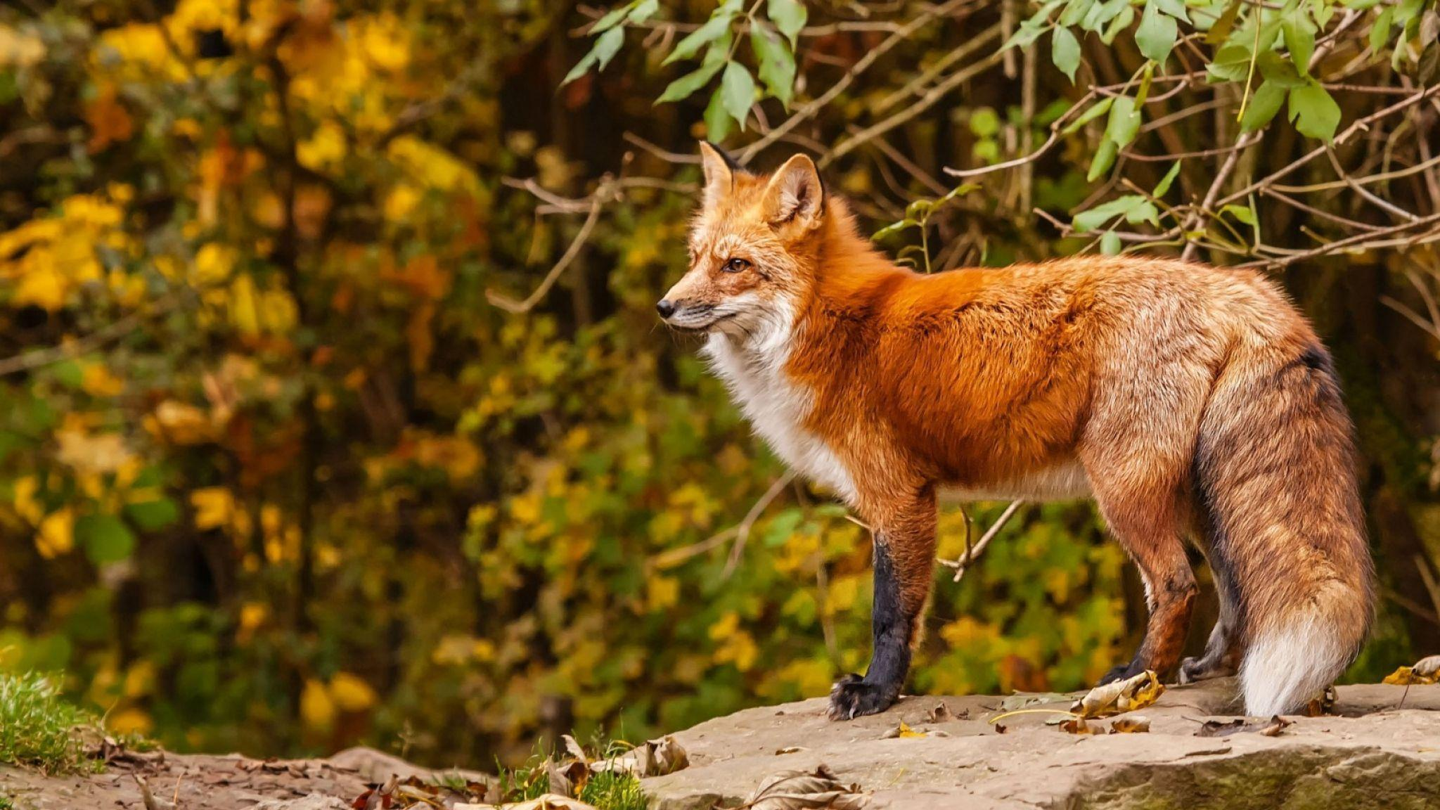 red fox hd wallpapers - photo #28