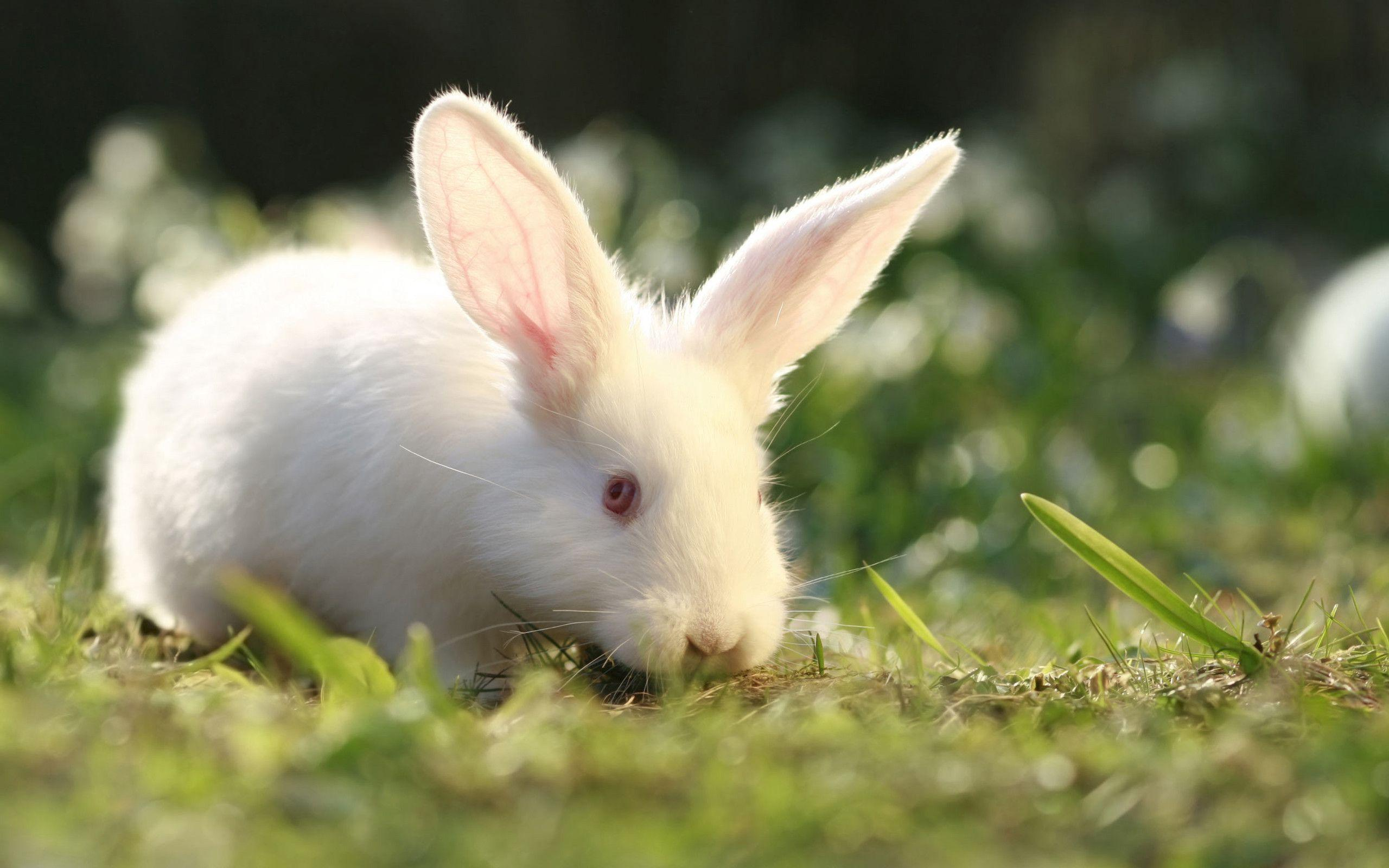 White Rabbit Wallpapers Wallpaper Cave