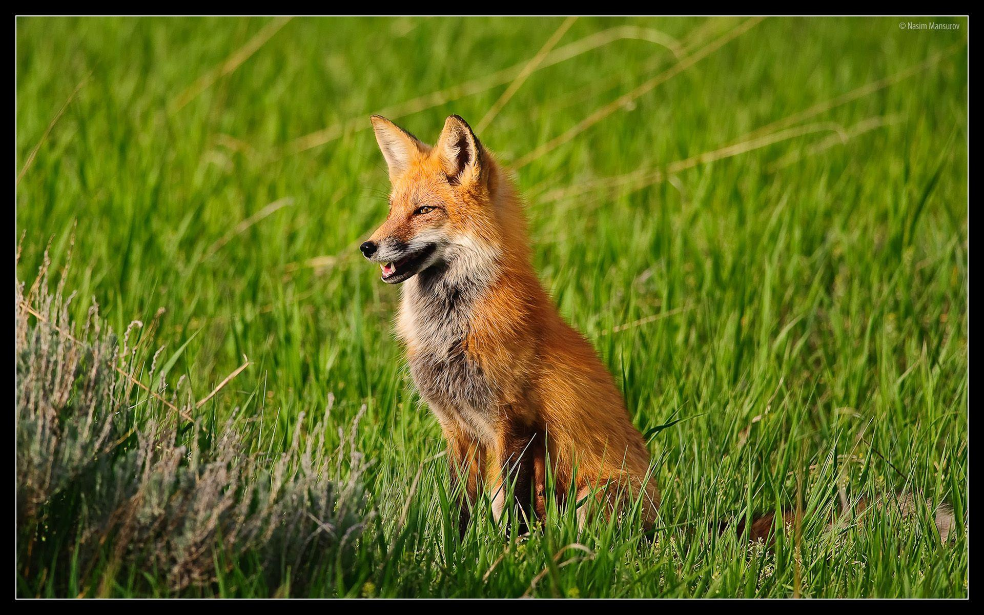 red fox wallpapers wallpaper cave
