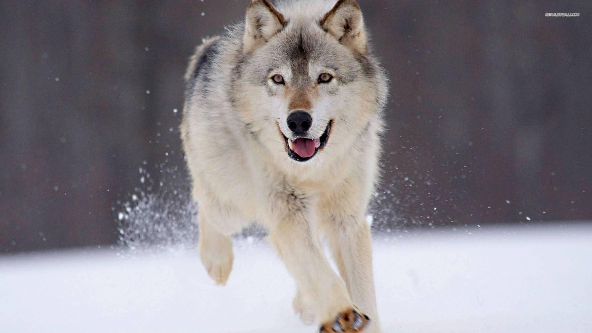 Wolf wallpaper #