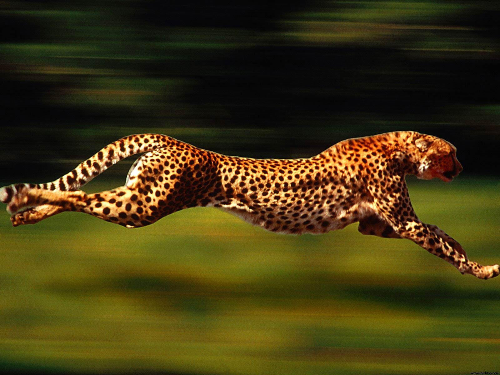 Cheetah Wallpapers - HD Wallpapers Inn