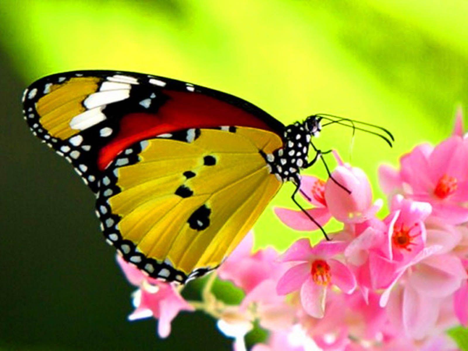A Beautiful Butterfly On Flower Butterflies Wallpapers