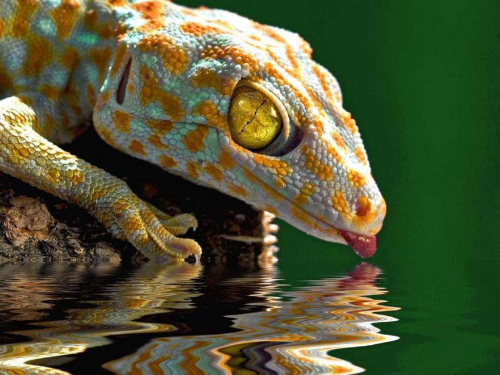 Gecko Drink Photography Wallpapers HD Wallpapers