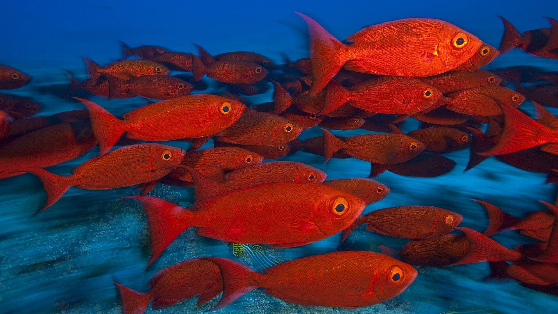 Wallpapers For > Redfish Wallpapers