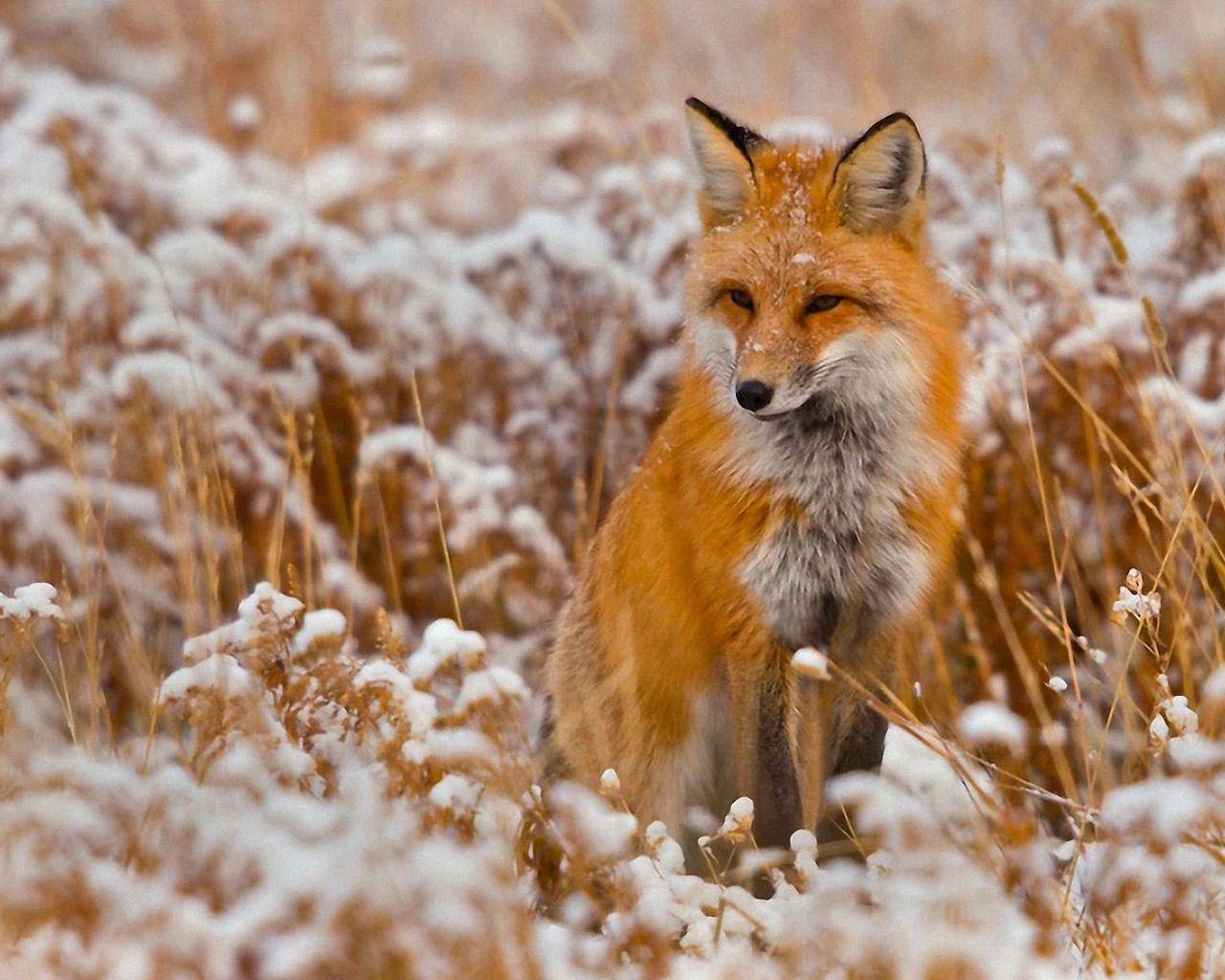 Red Fox Wallpapers - HD Wallpapers Inn