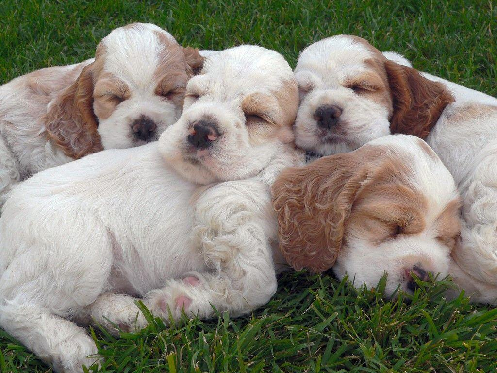 Cocker Spaniel Family 26379 High Resolution | download all free jpeg