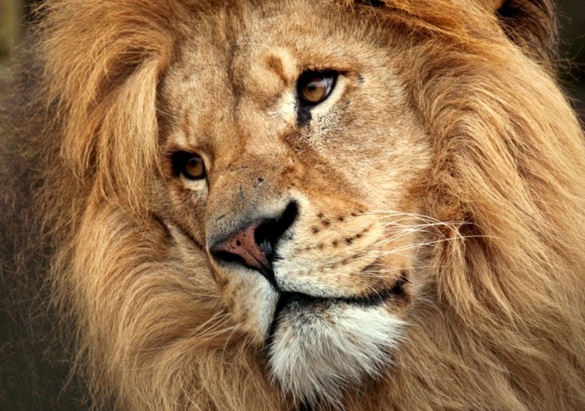 lion face wallpaper - photo #8