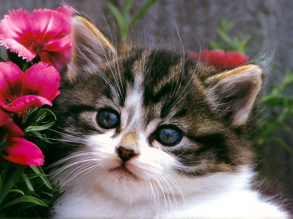 Free Cute Kitten Wallpapers