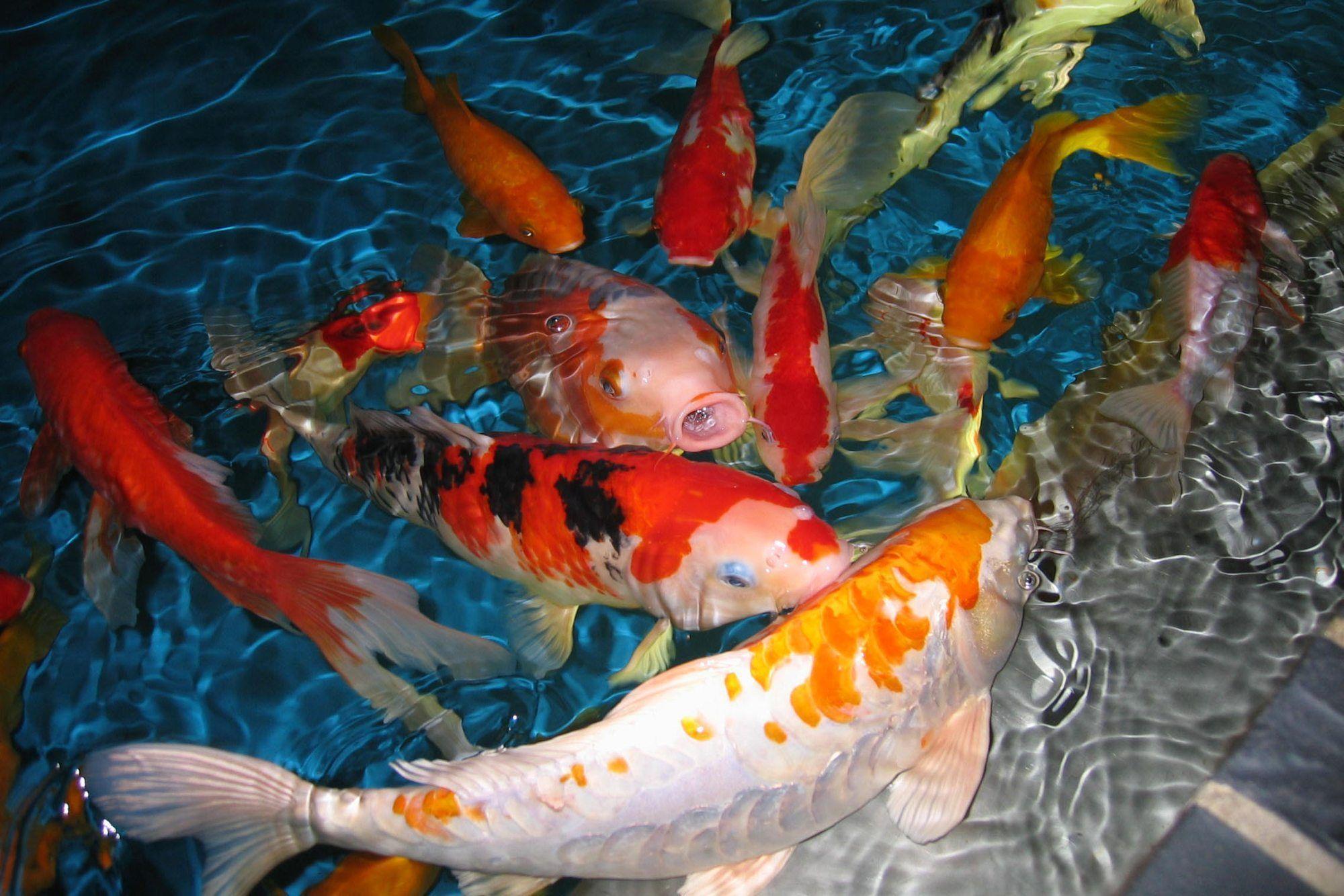 Koi fish wallpapers wallpaper cave for Koi pond screensaver