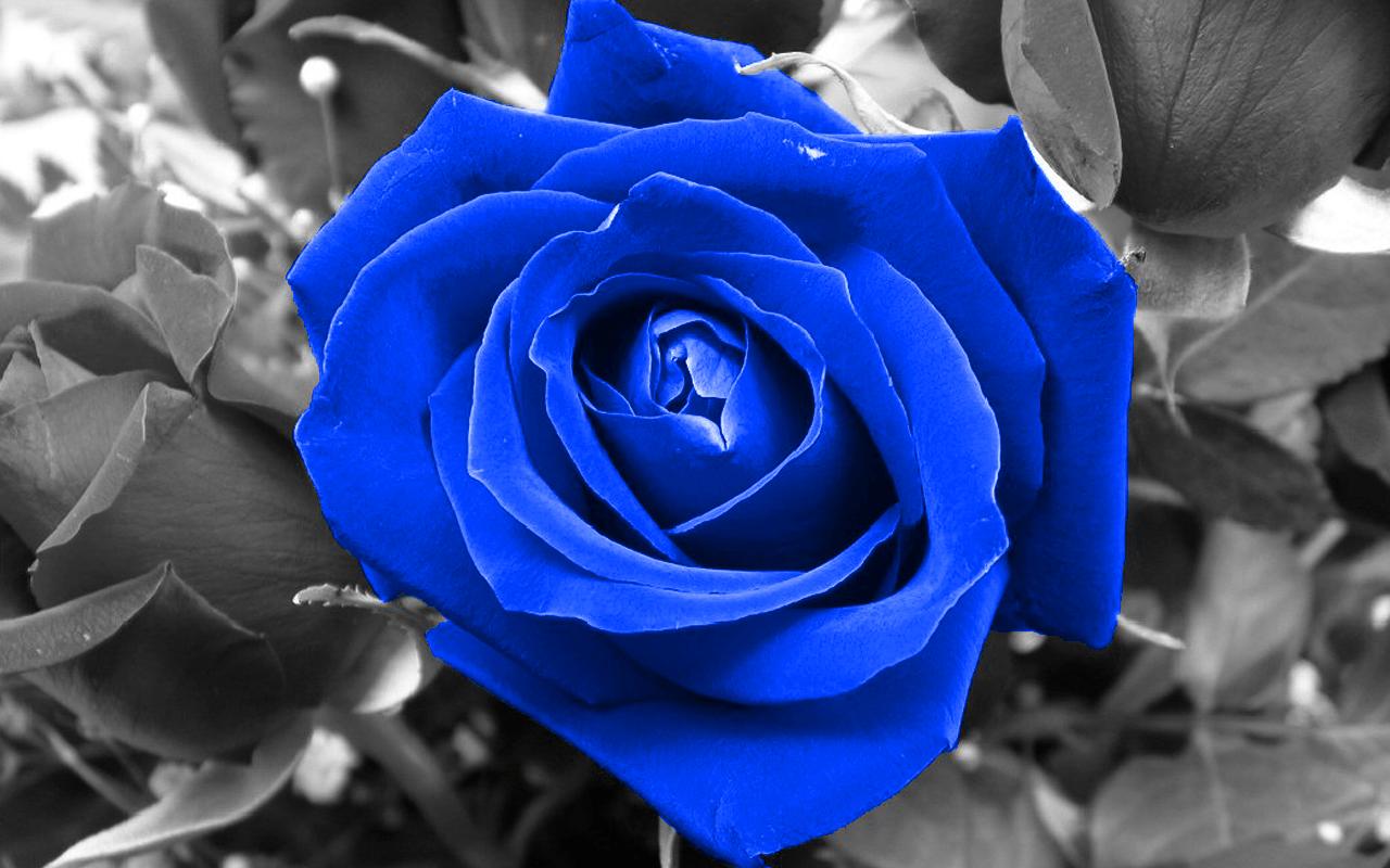how to make white roses blue