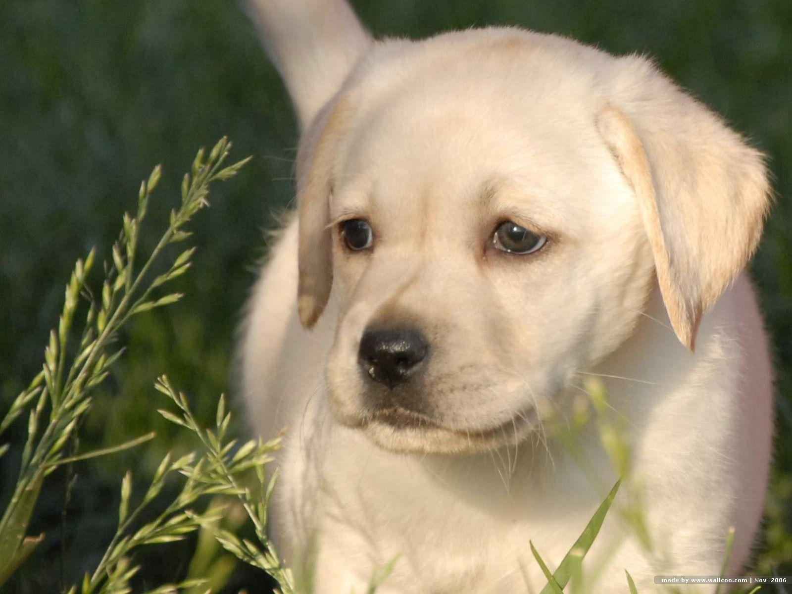 yellow lab puppy wallpaper - photo #5