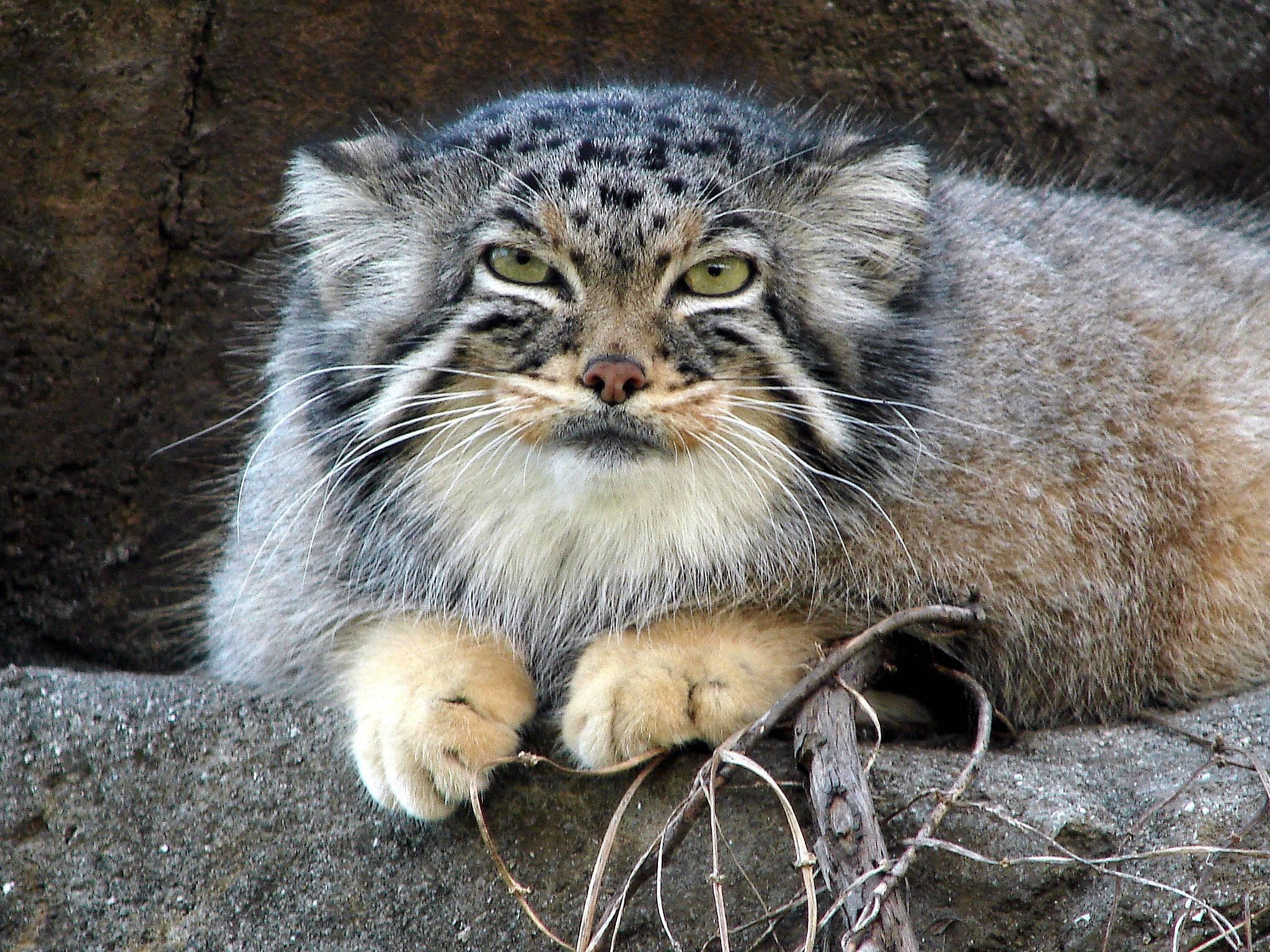 Wildcat Wallpapers - Wallpaper Cave