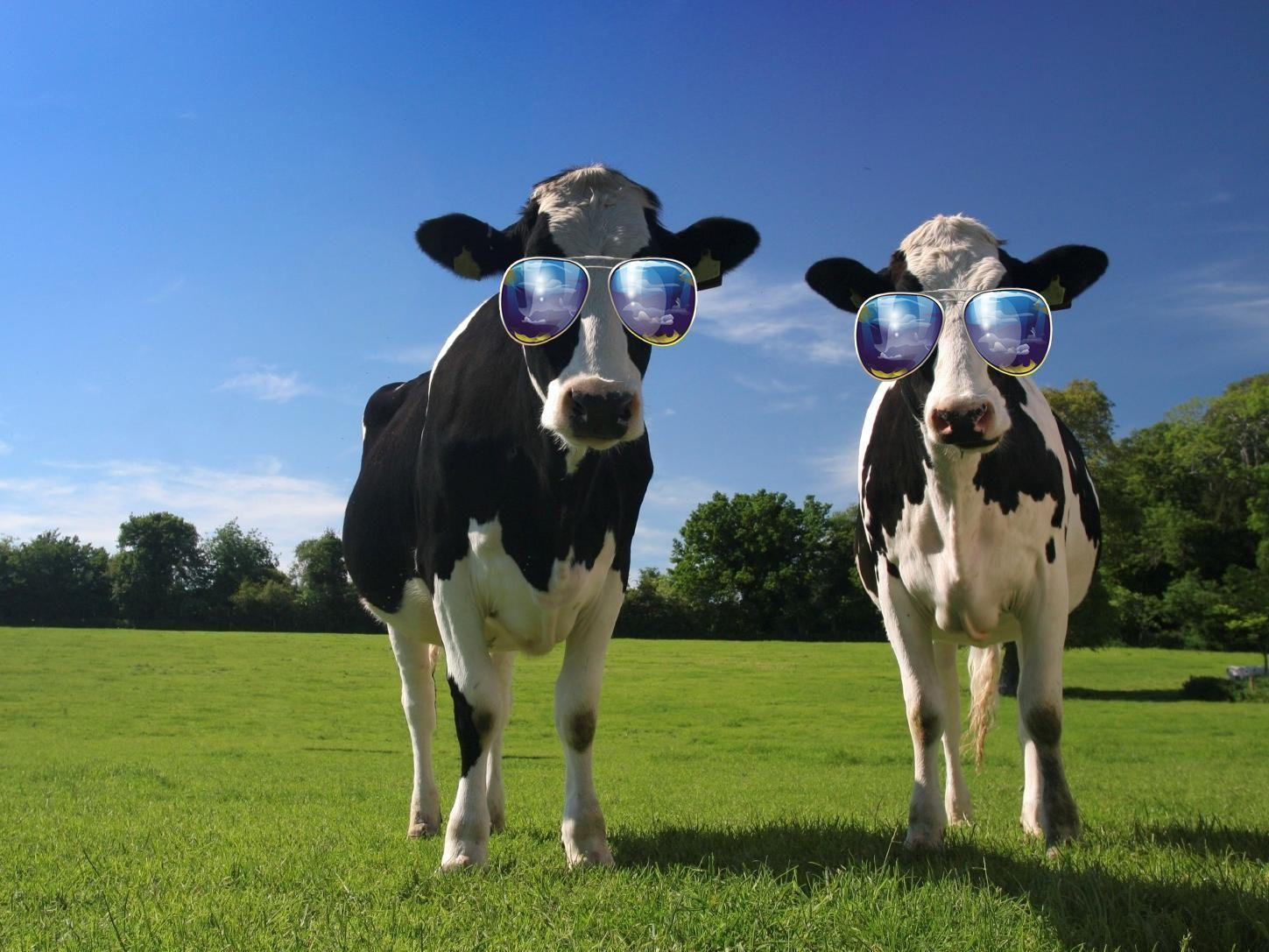 funny cow wallpaper - photo #8