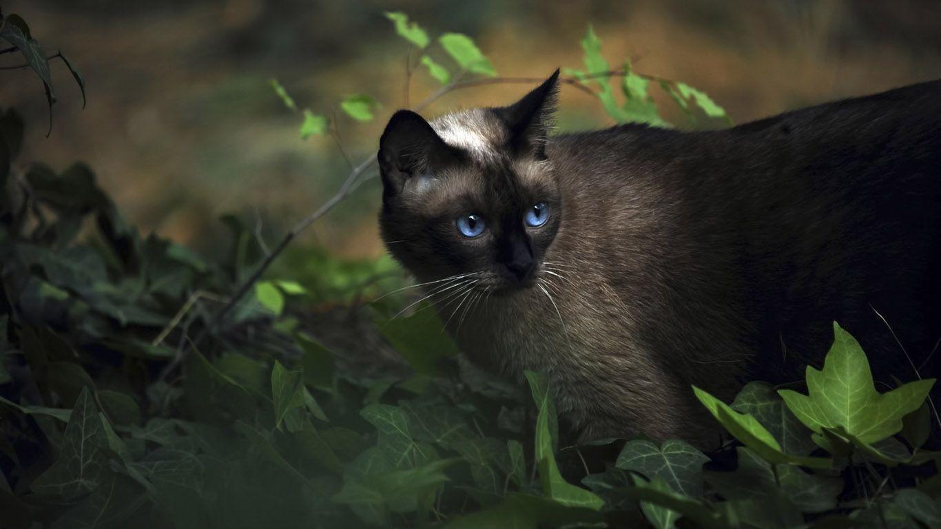 siamese cats wallpaper 3 - photo #10