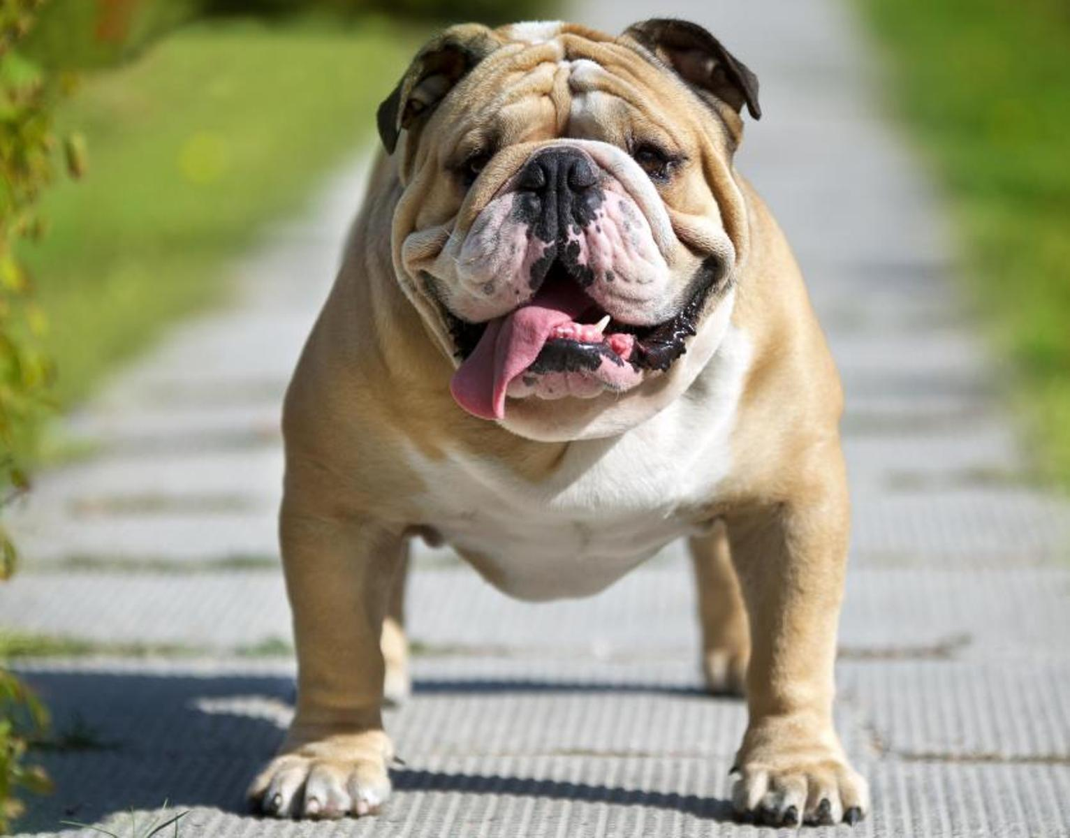 english bulldog wallpaper english bulldog wallpapers wallpaper cave 2777