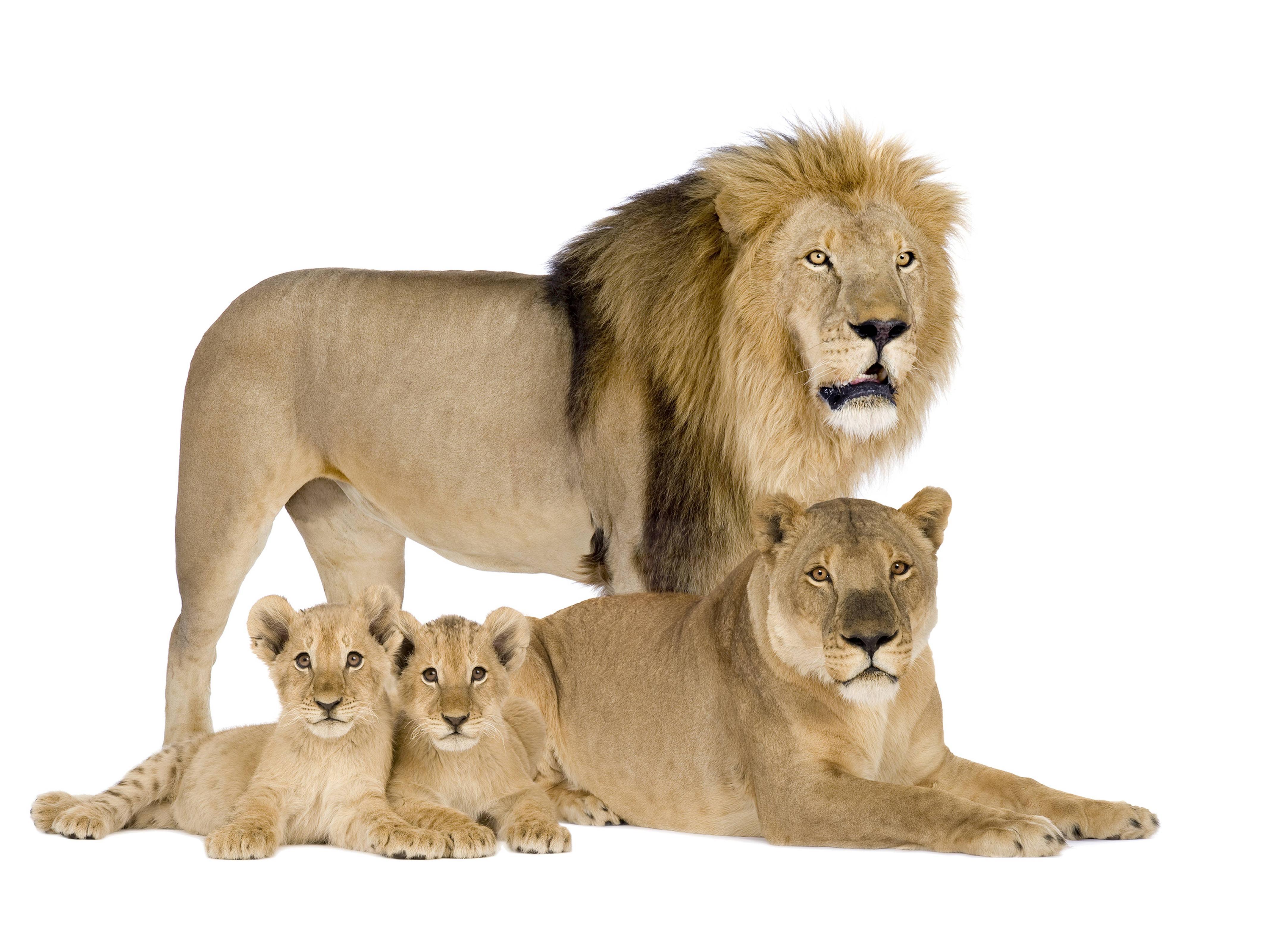 Lion family wallpaper - photo#45